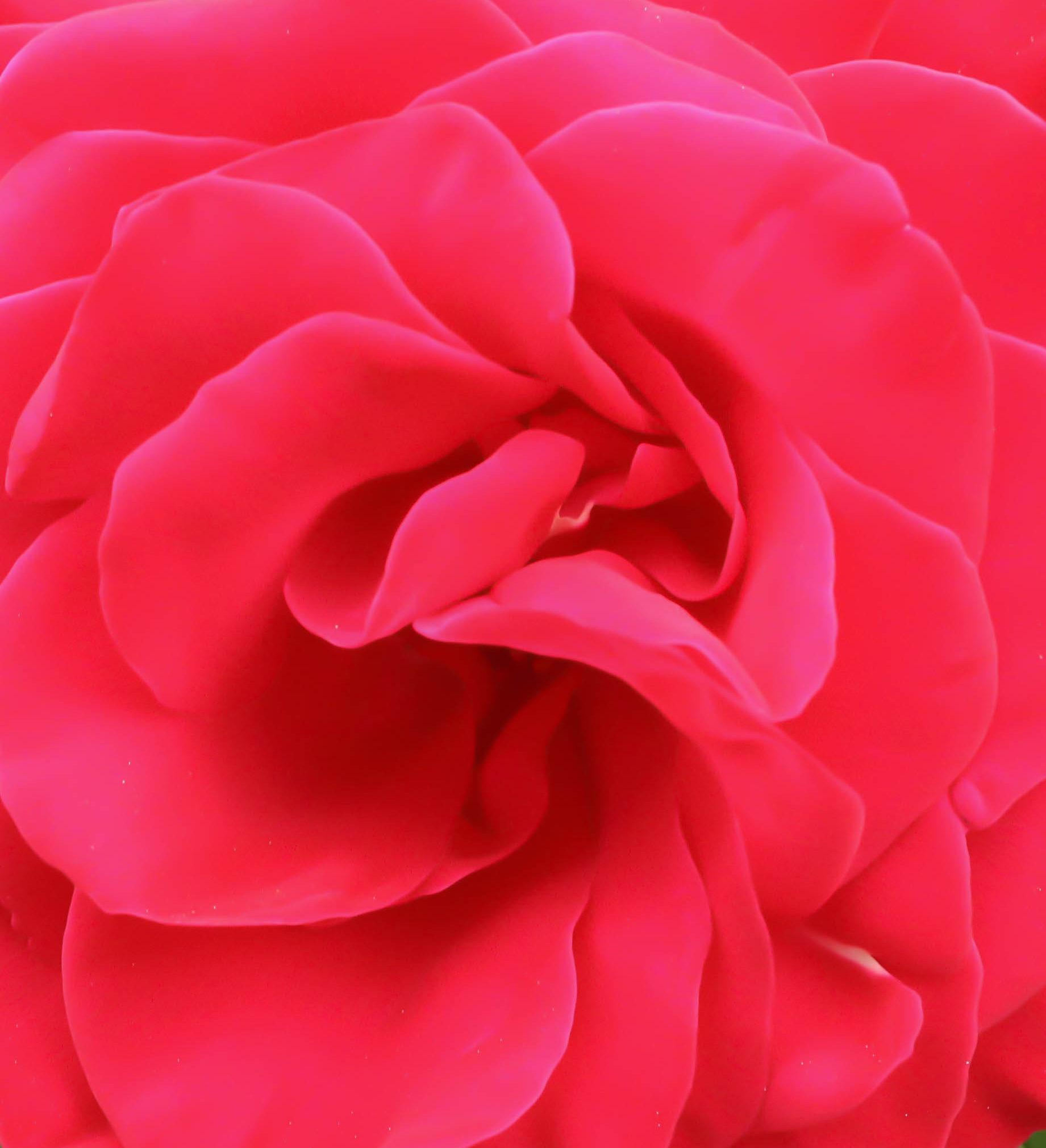 Rose petals...
