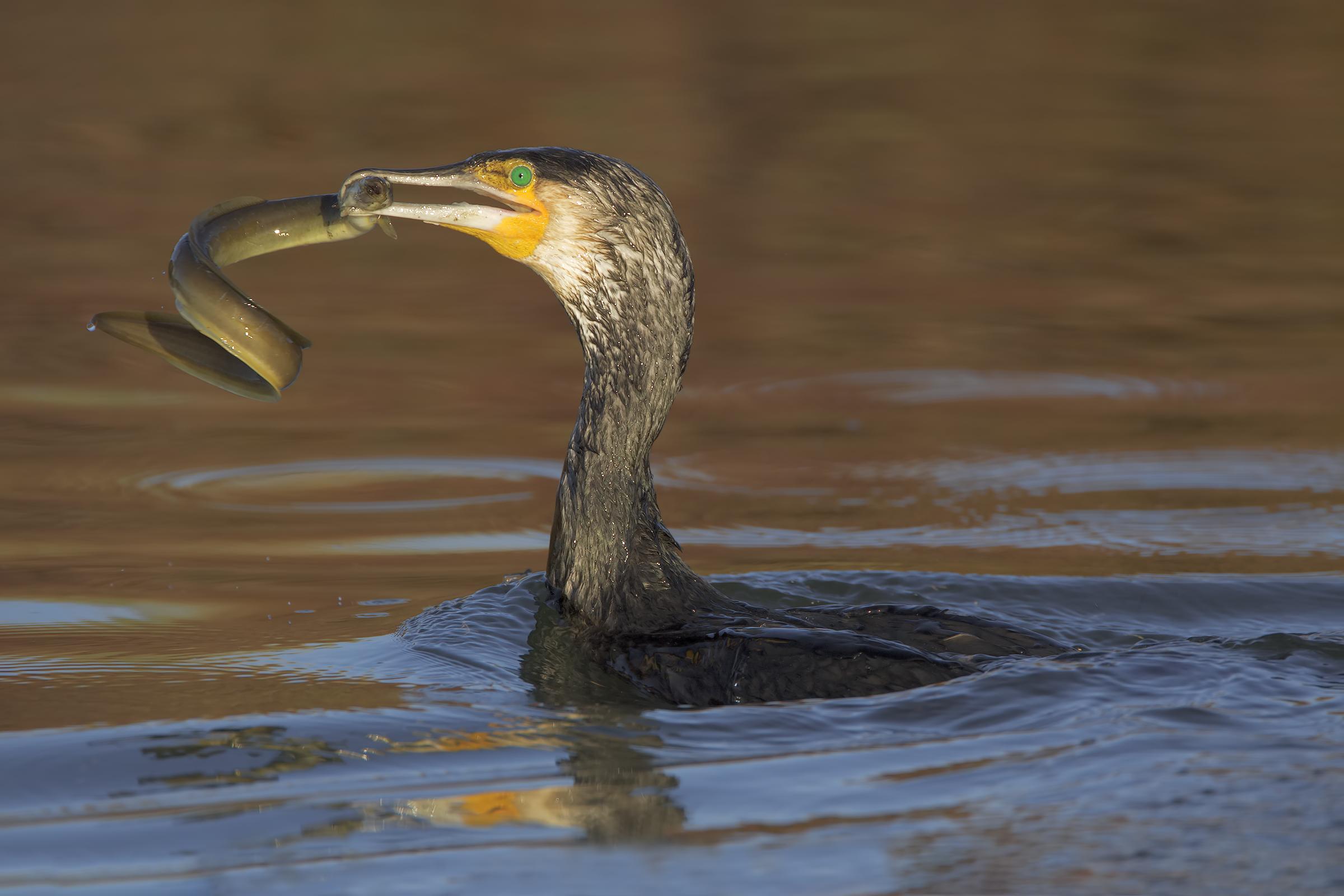 Cormorant with Anguilla...