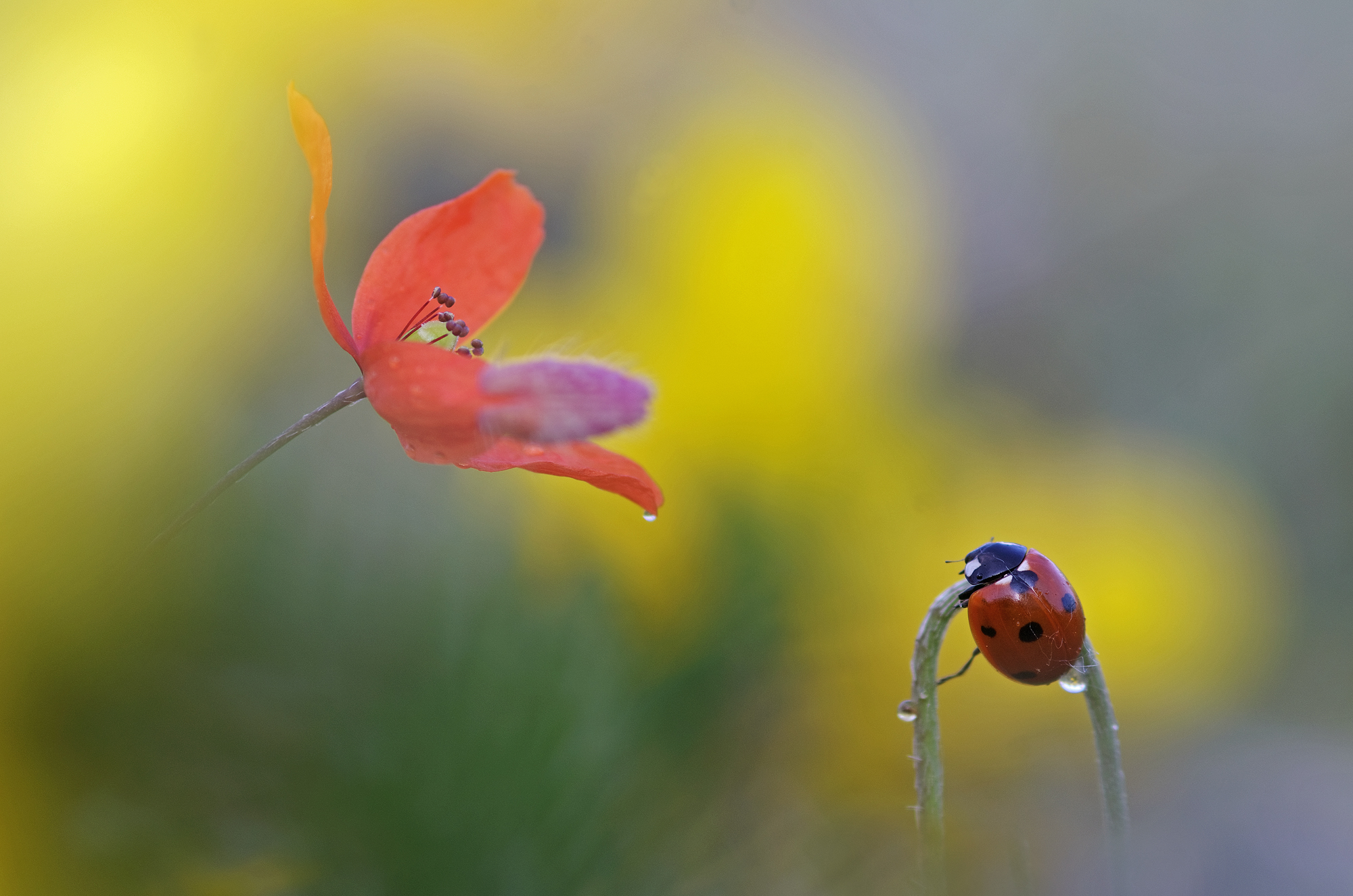 Between poppies and brooms...