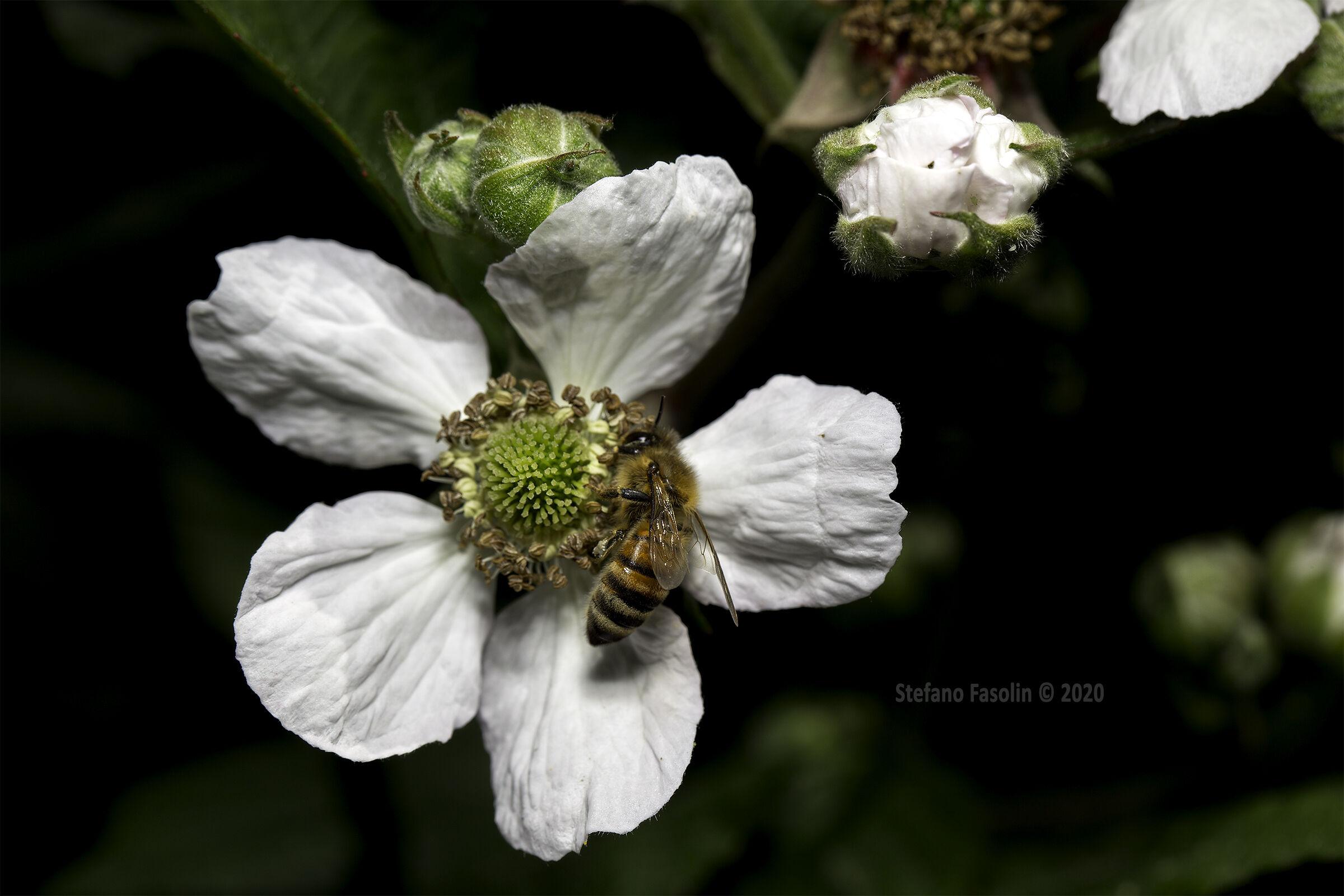 On blackberry flowers v.3...