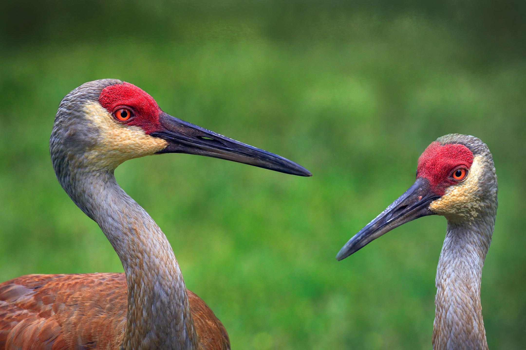 Pair of Sandhilll Cranes...