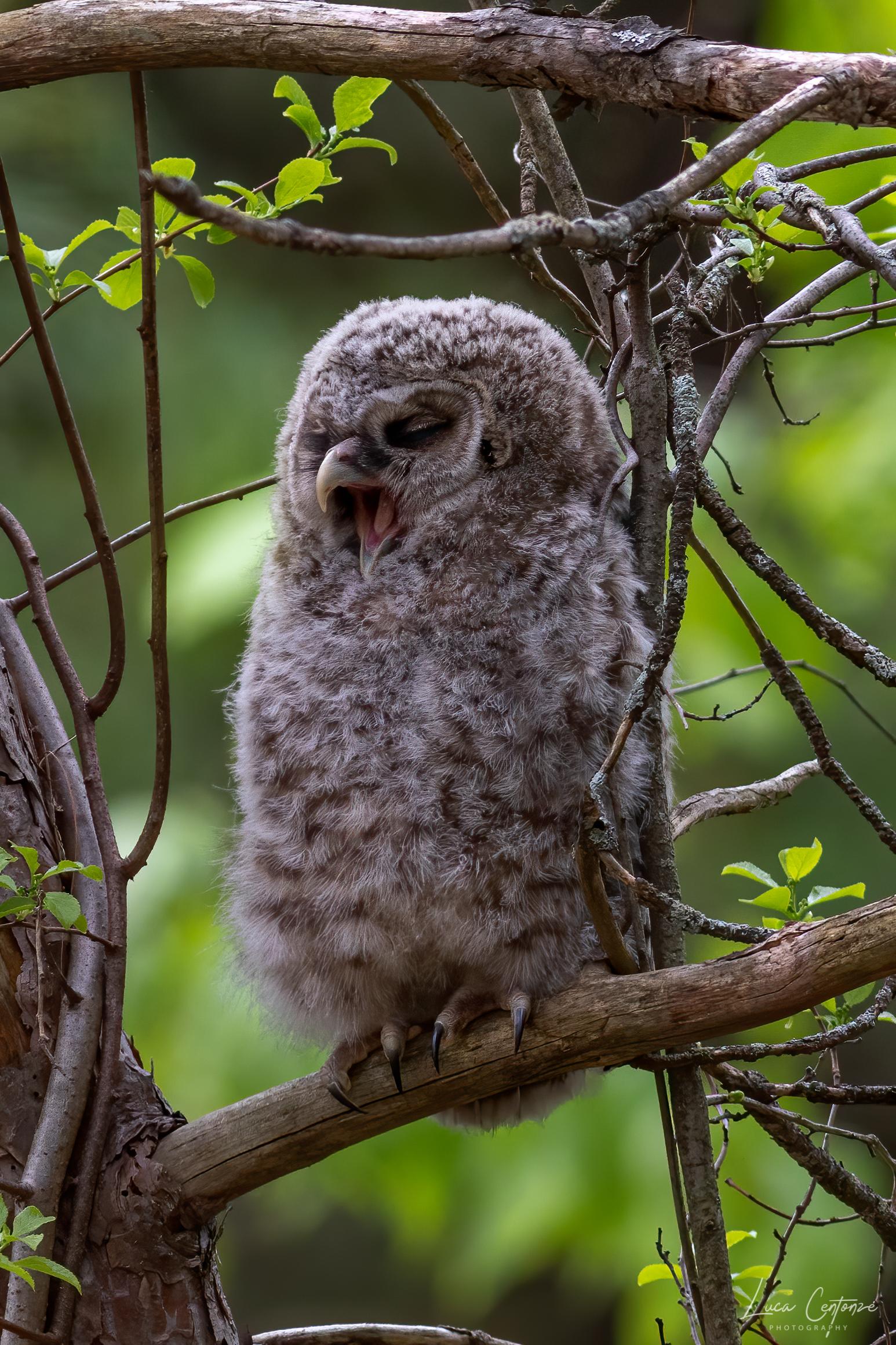 Baby Barred Owl ...