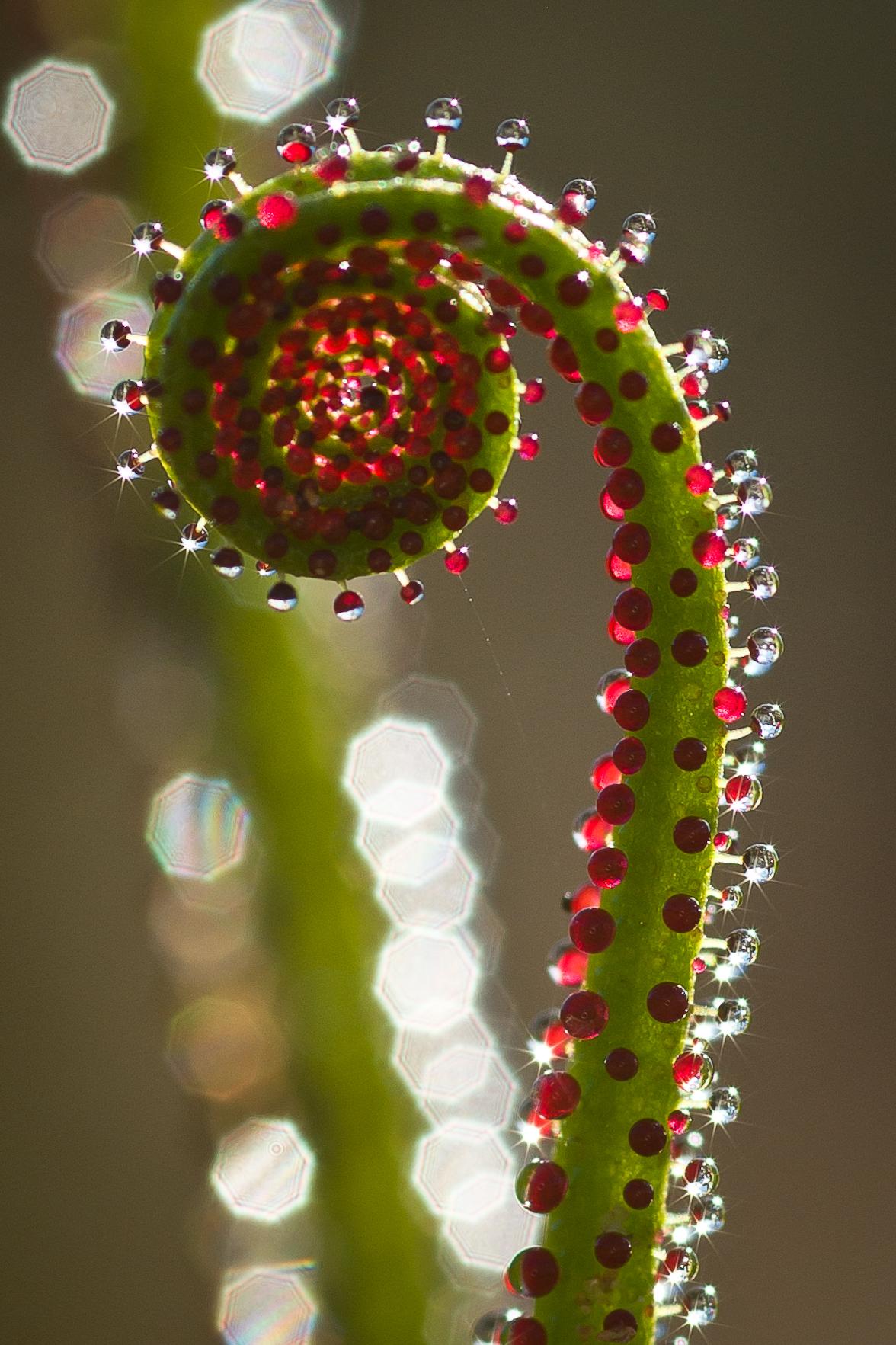 Drosophyllum lusitanicum...