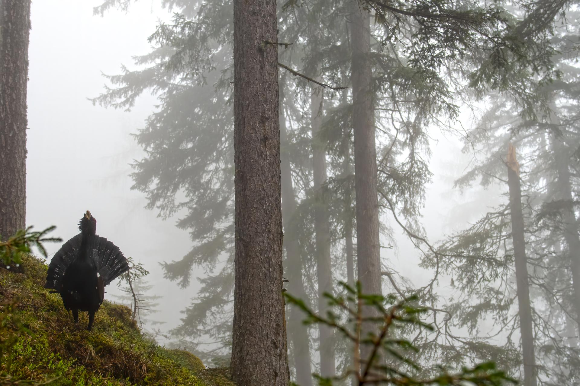 Cedrone nella nebbia...