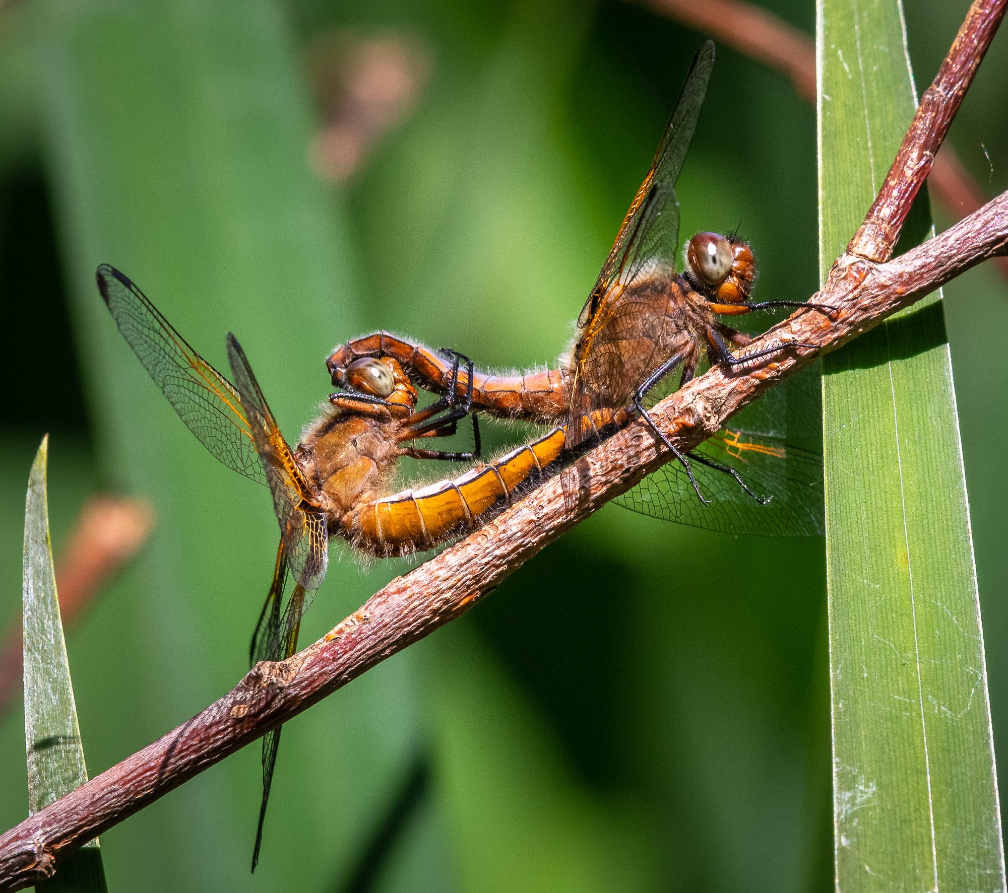Hugfly Dragonfly...