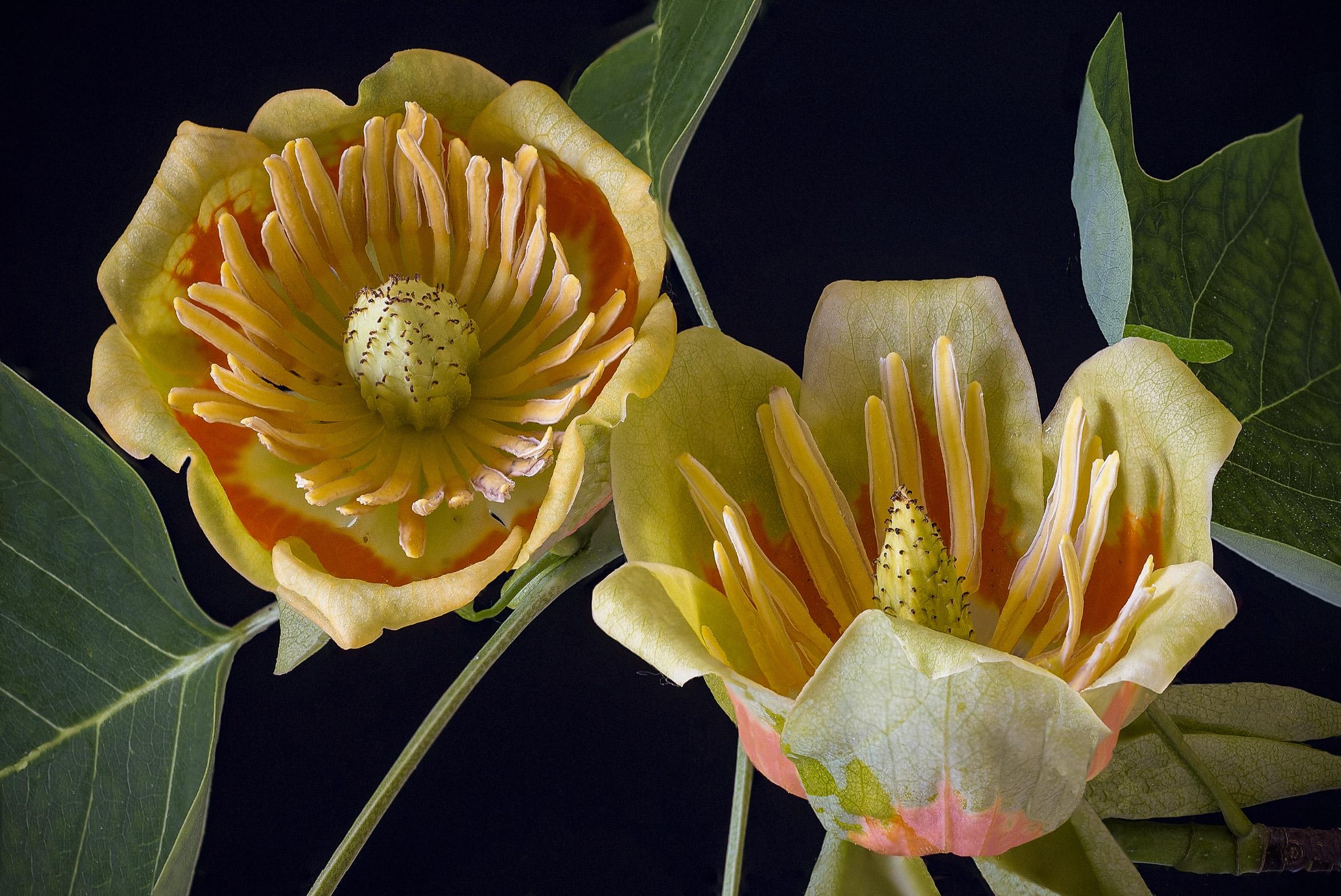 Albero dei tulipani - Liriodendro...