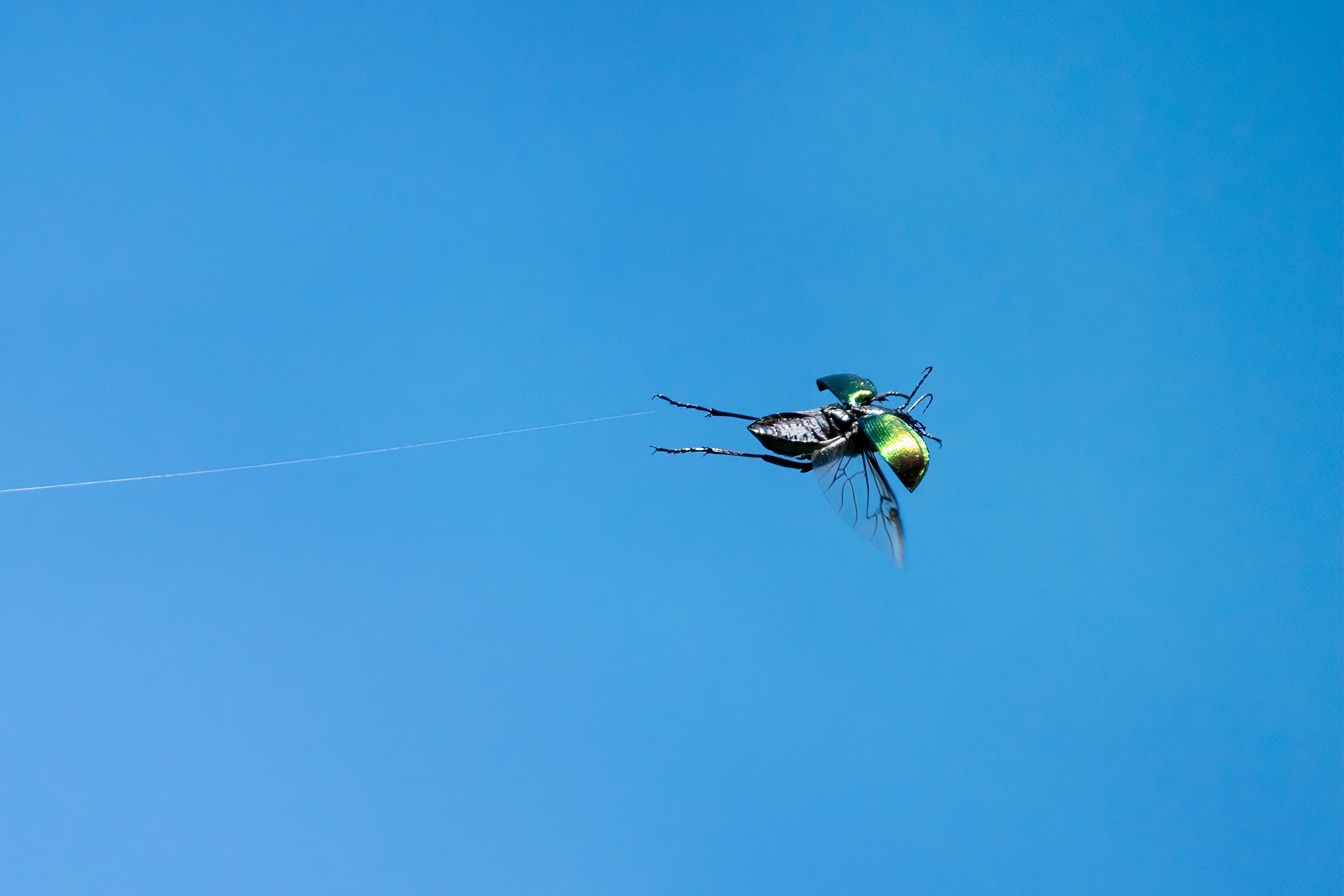 Golden cetonia in flight...