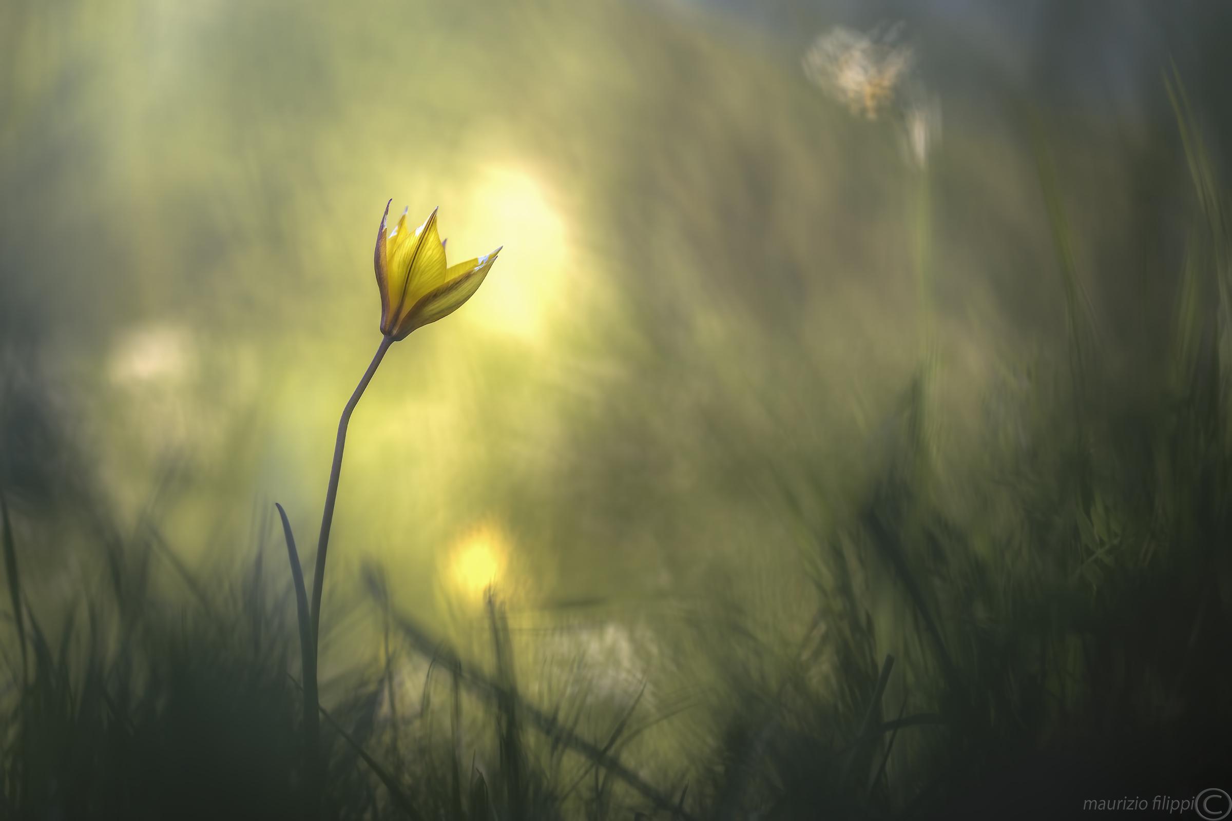 Wild tulip...