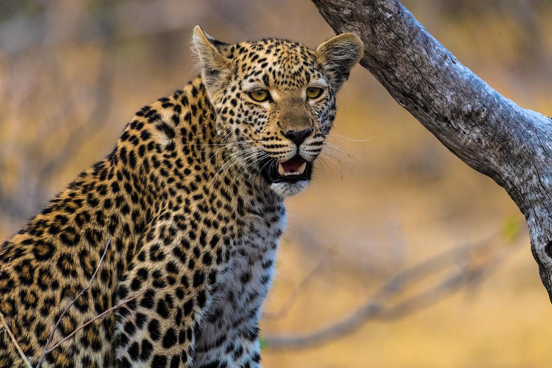 Mr. Leopard...
