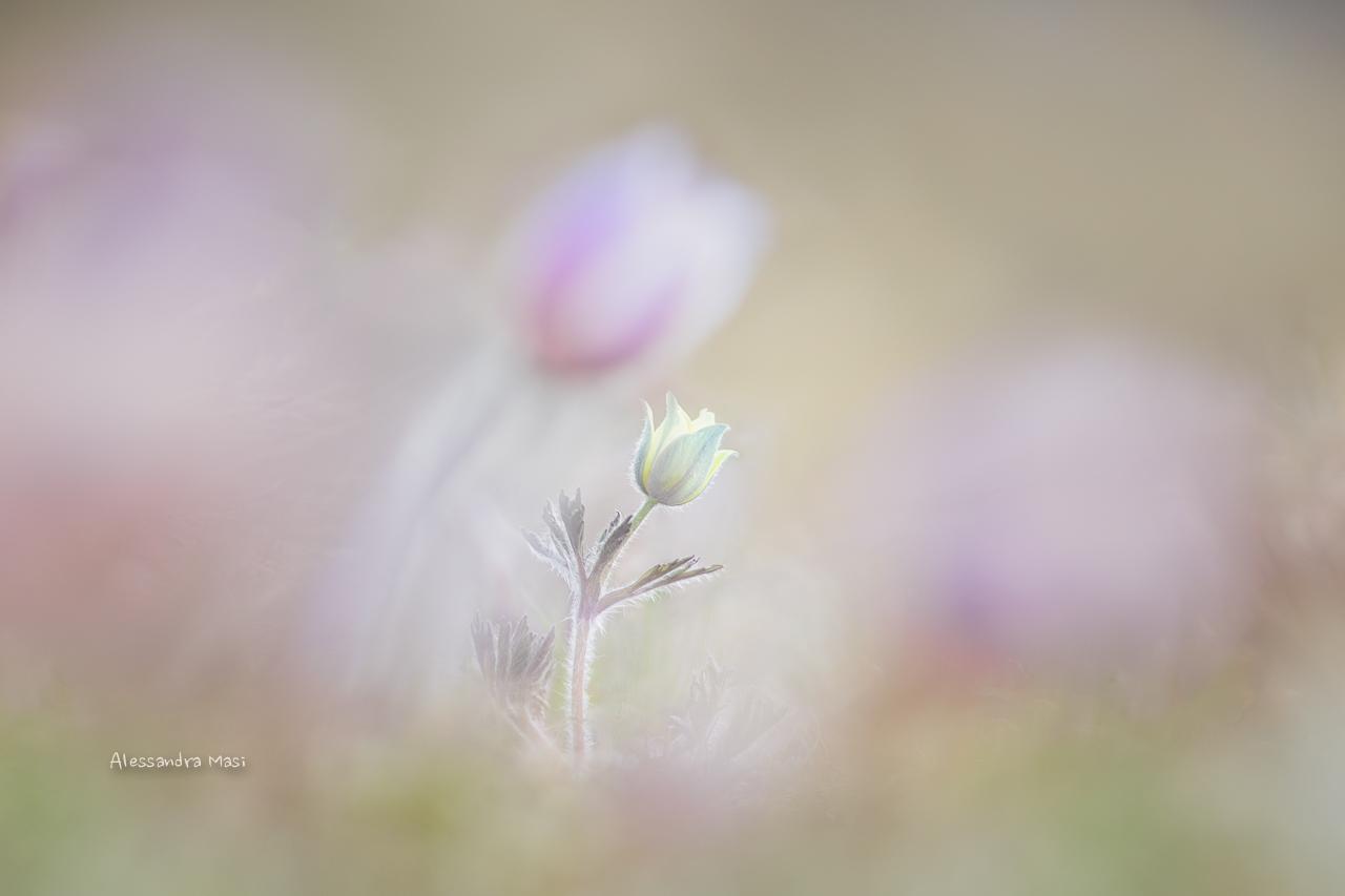 Subsp alpine pulsatilla. apiifolia...