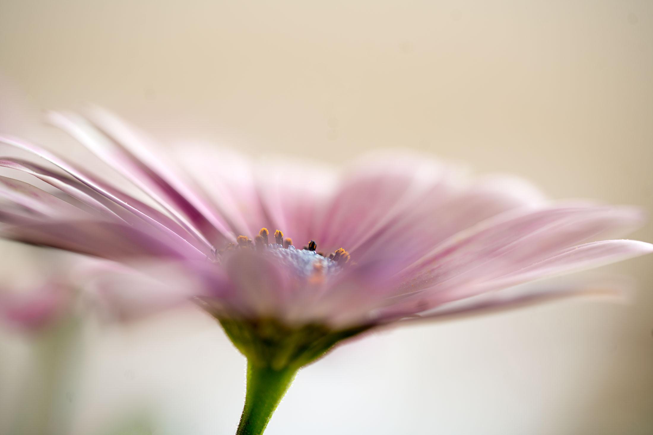 Ornamental daisy ...