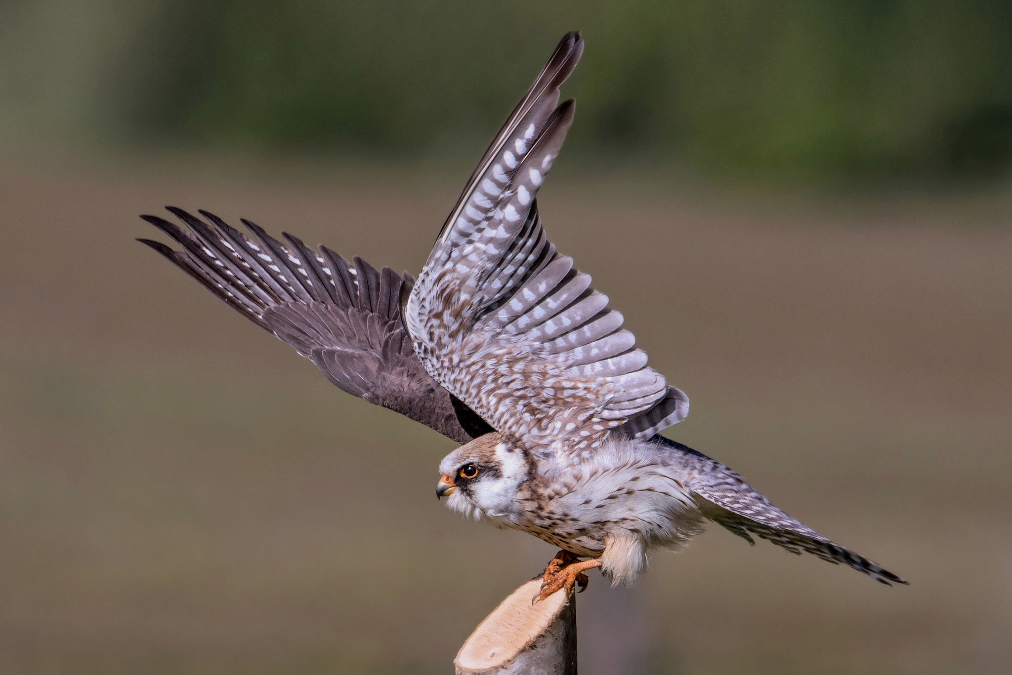 young falcon cuckoo...