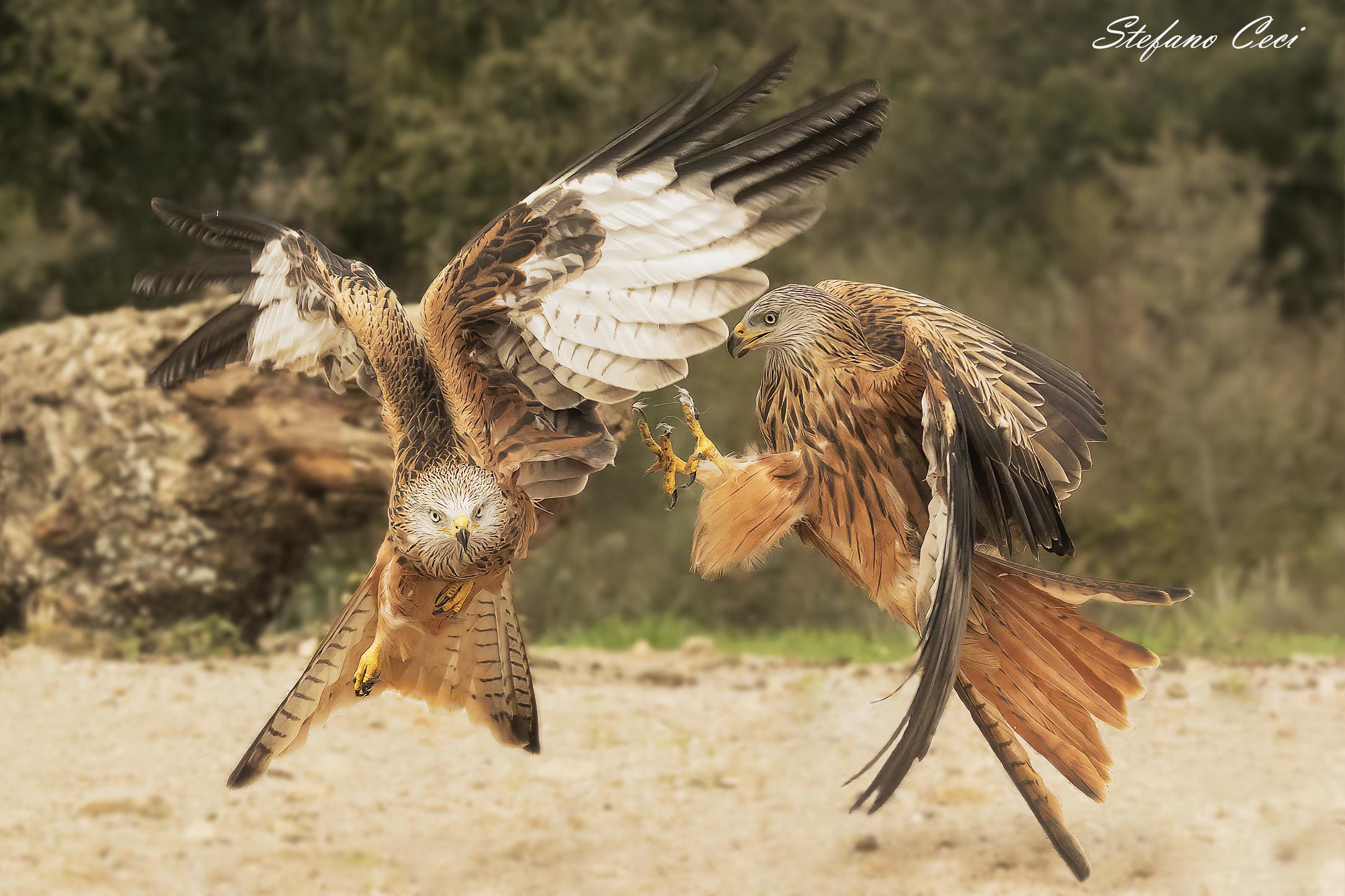 The Attack (Royal Kite)...