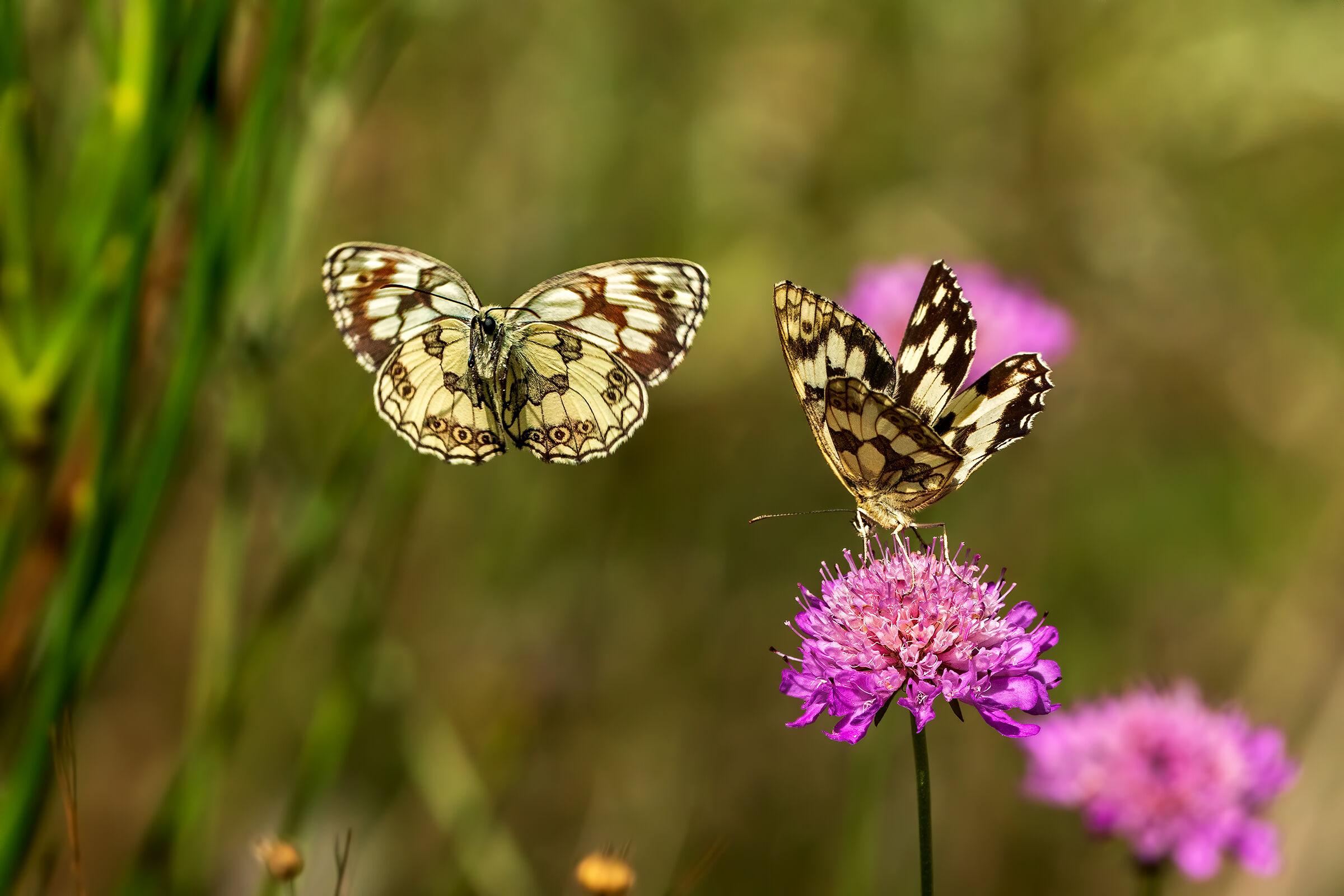 Lepidopteri sp....