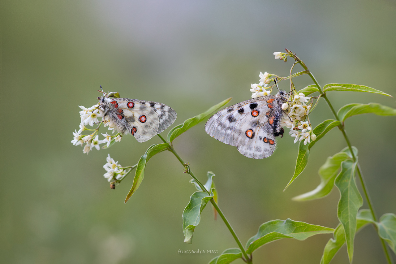 Parnassius apollo 2...