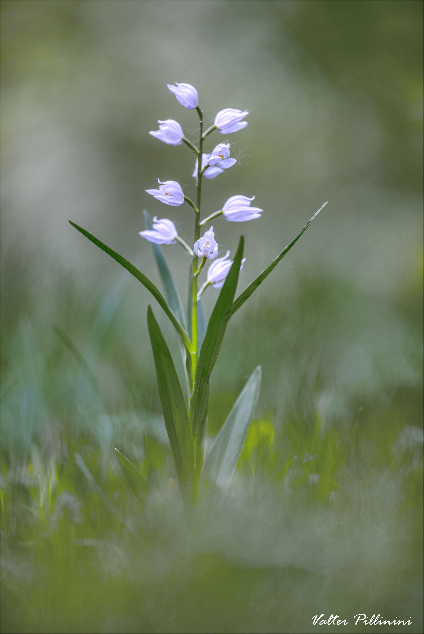 Cephalantera longifolia...