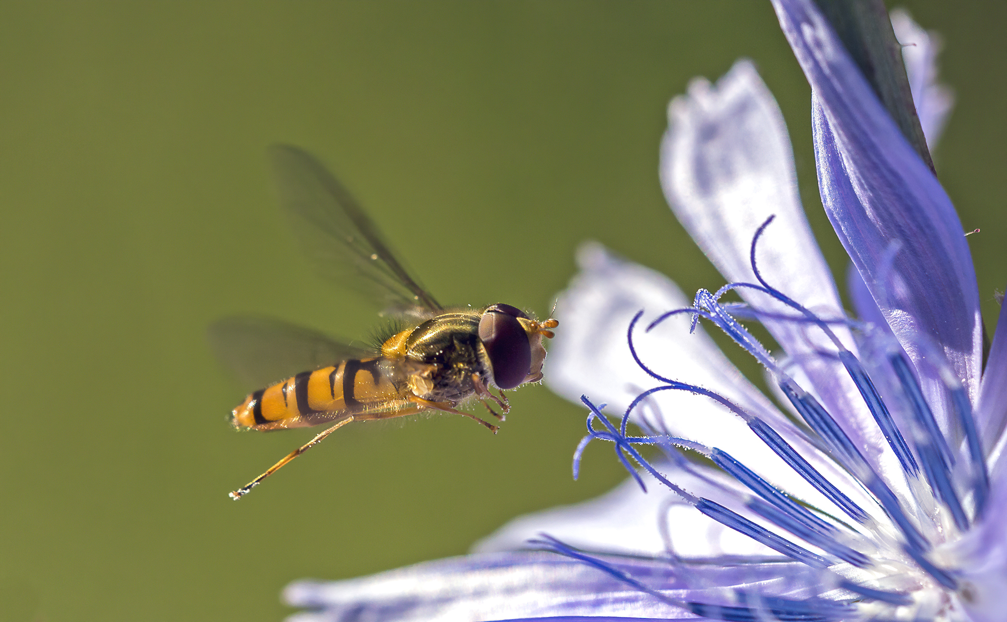 syrphid...