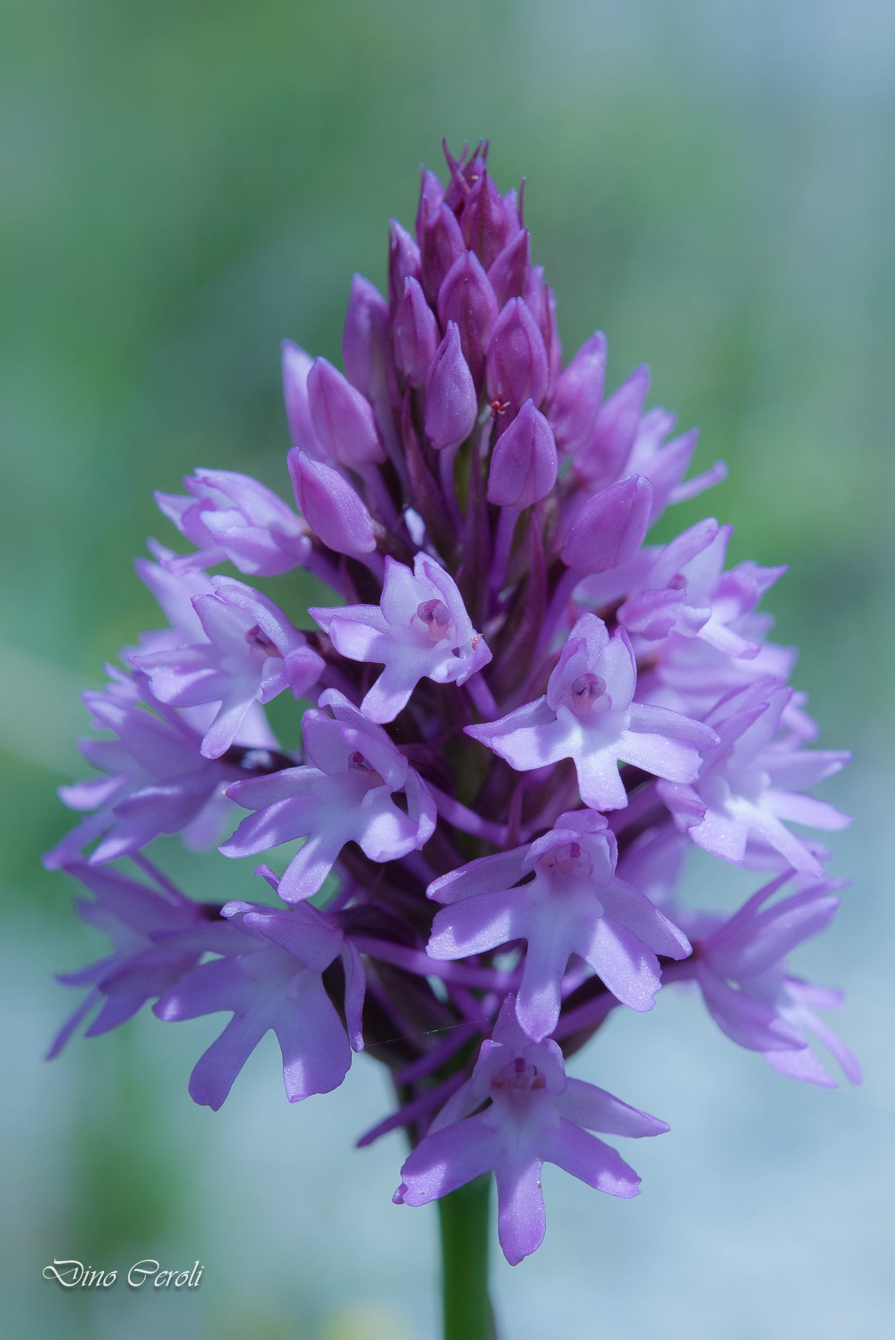 Anacamptis pyramidalis, Pyramid Orchid...