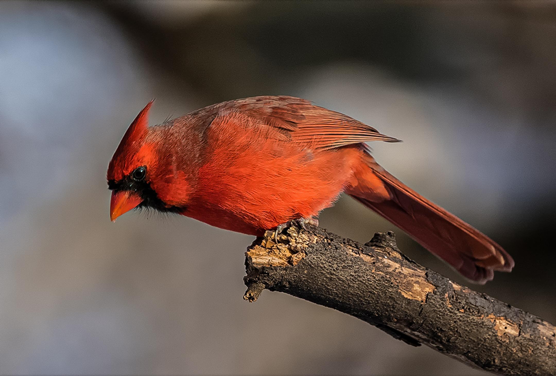 Male Northern Cardinal...
