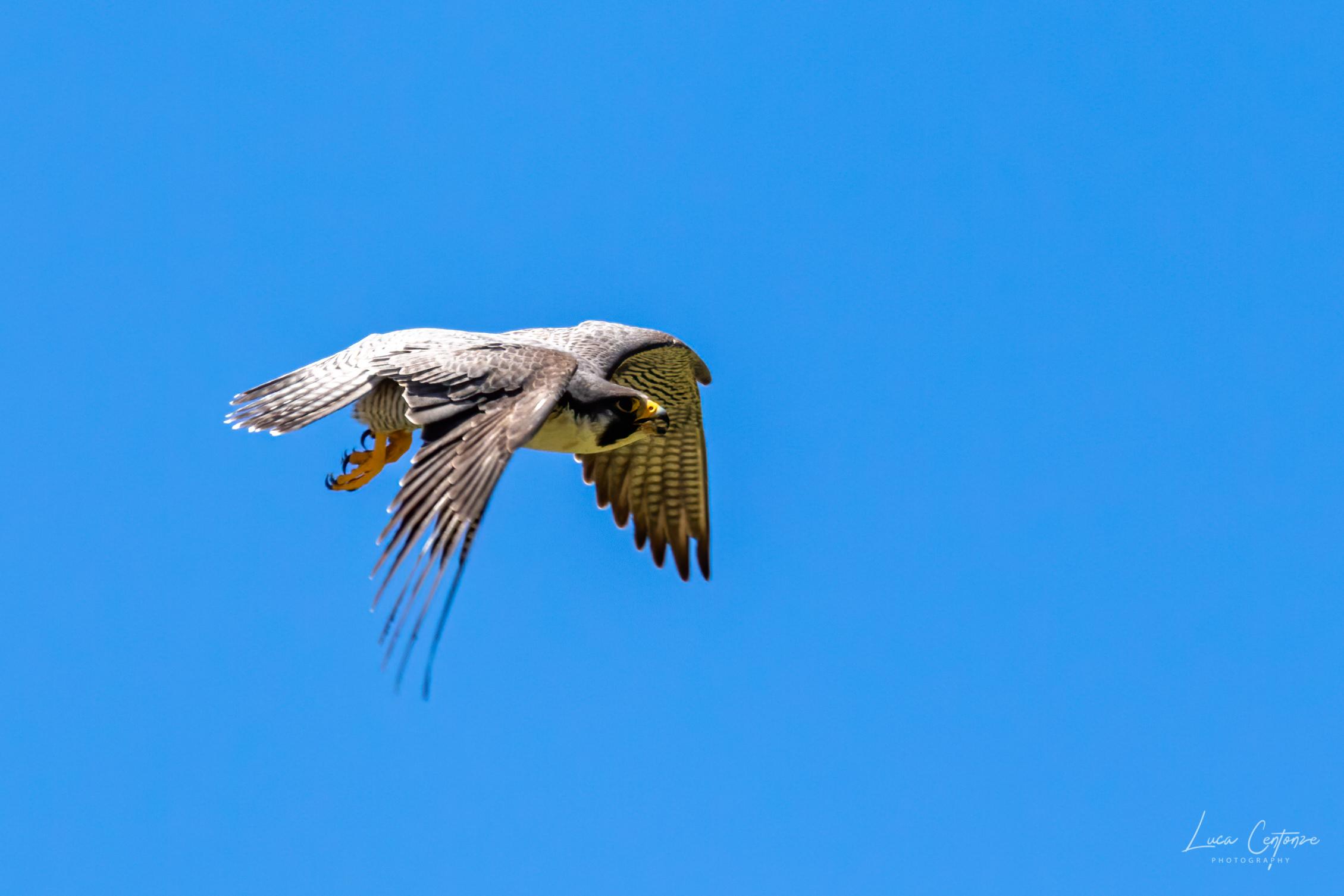 Pilgrim Falcon...