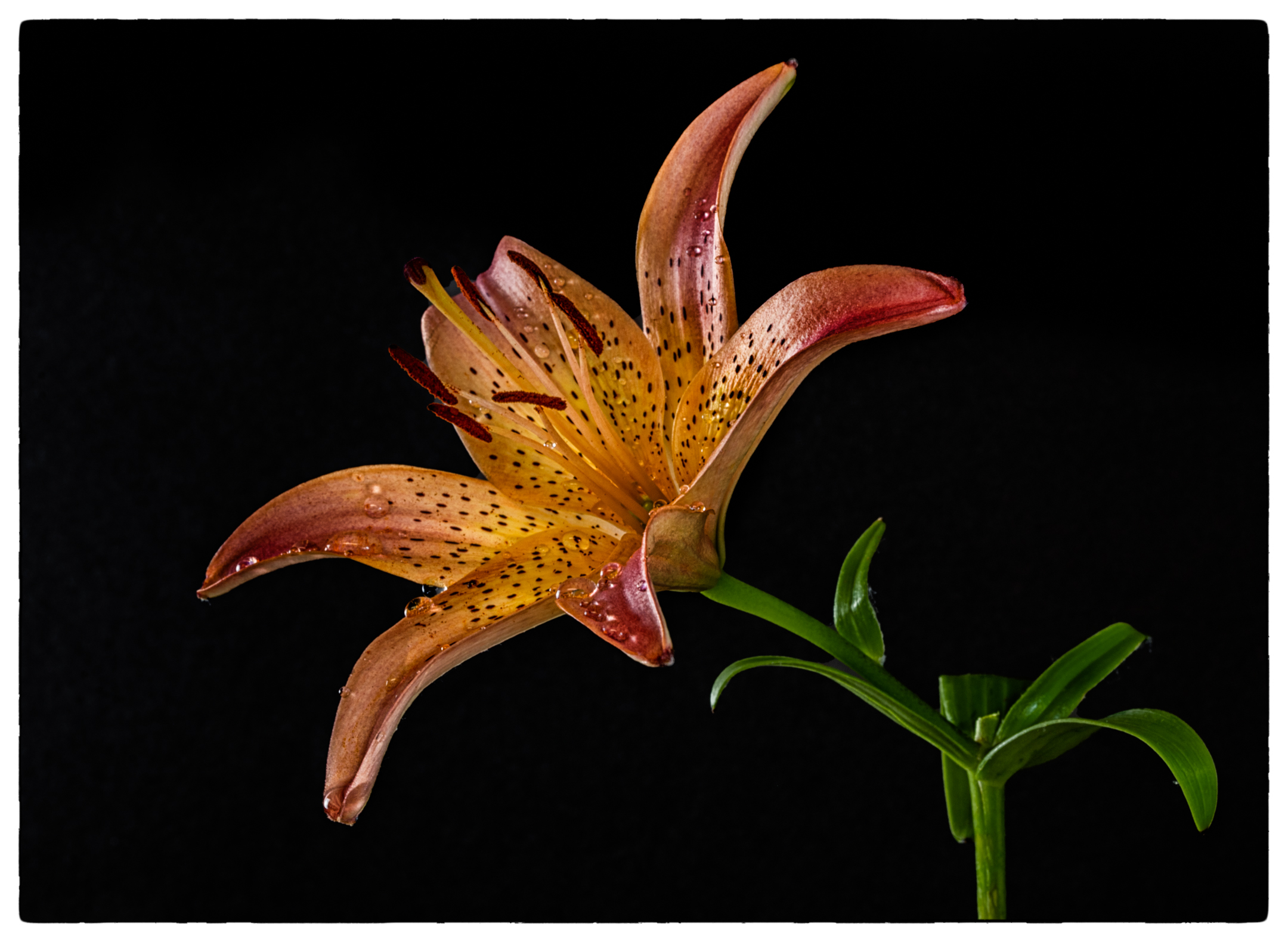 Tiger Lily from the Field....
