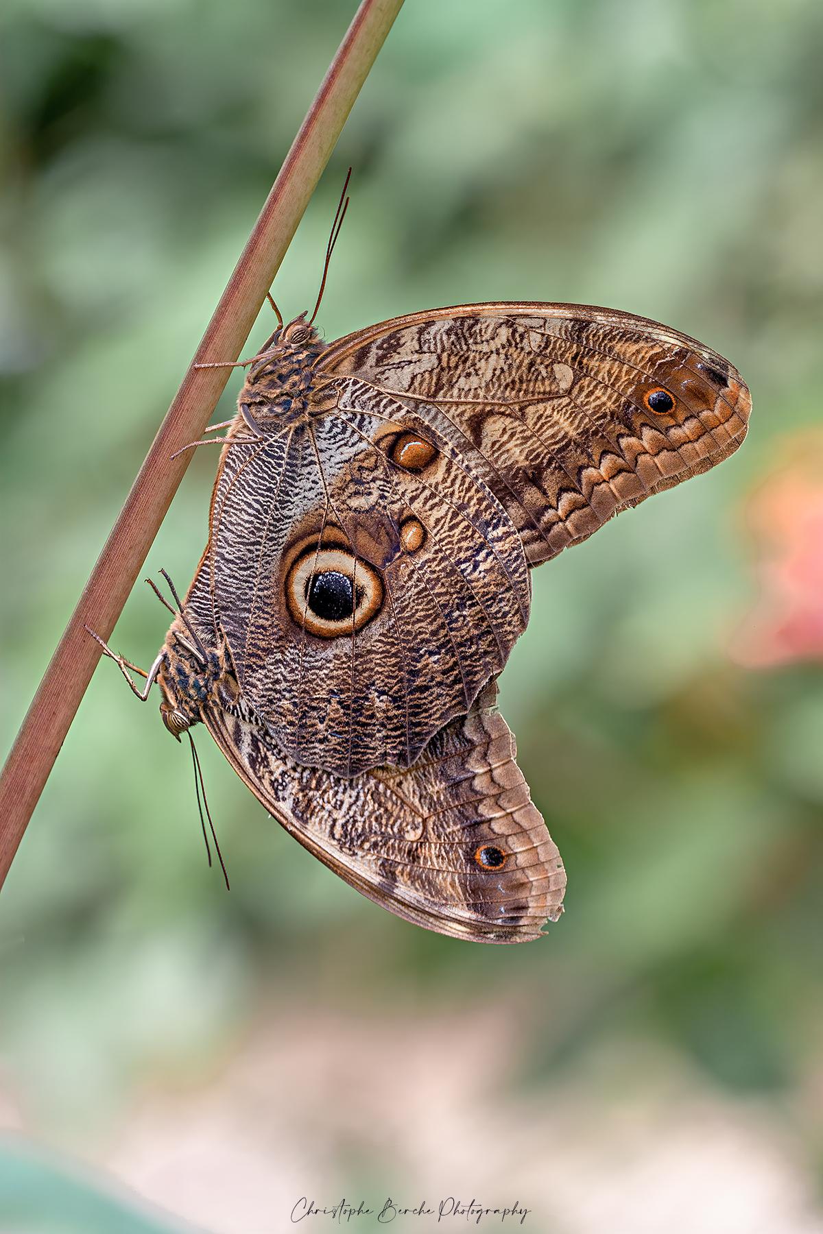 Owl butterfly...