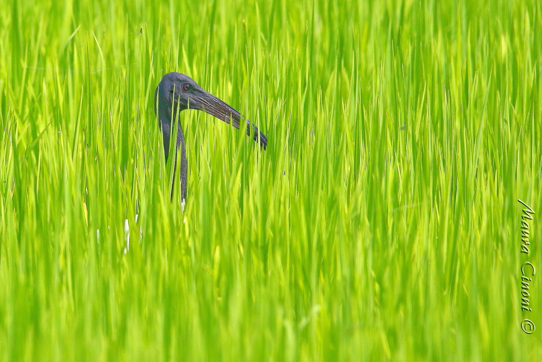 Sacred Ibis in The Rice...