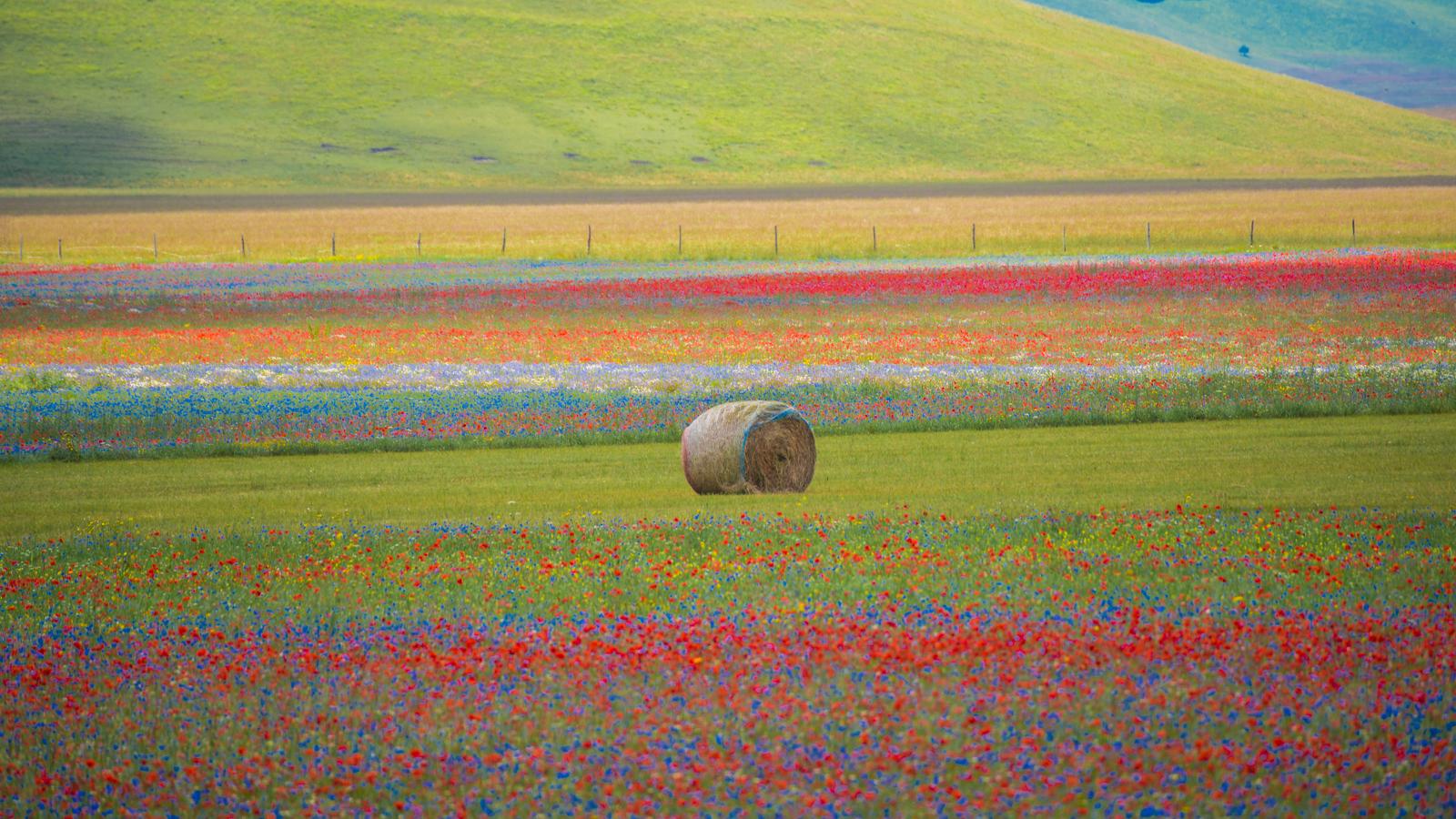 Castelluccio Flowering July 8, 2020...