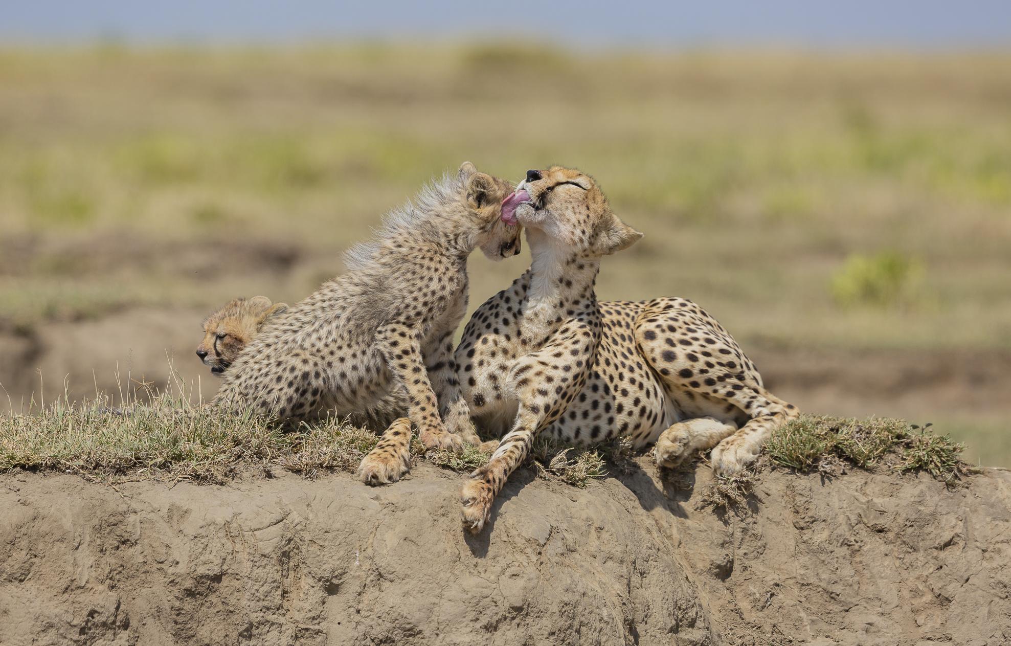 Cheetahs, New1...