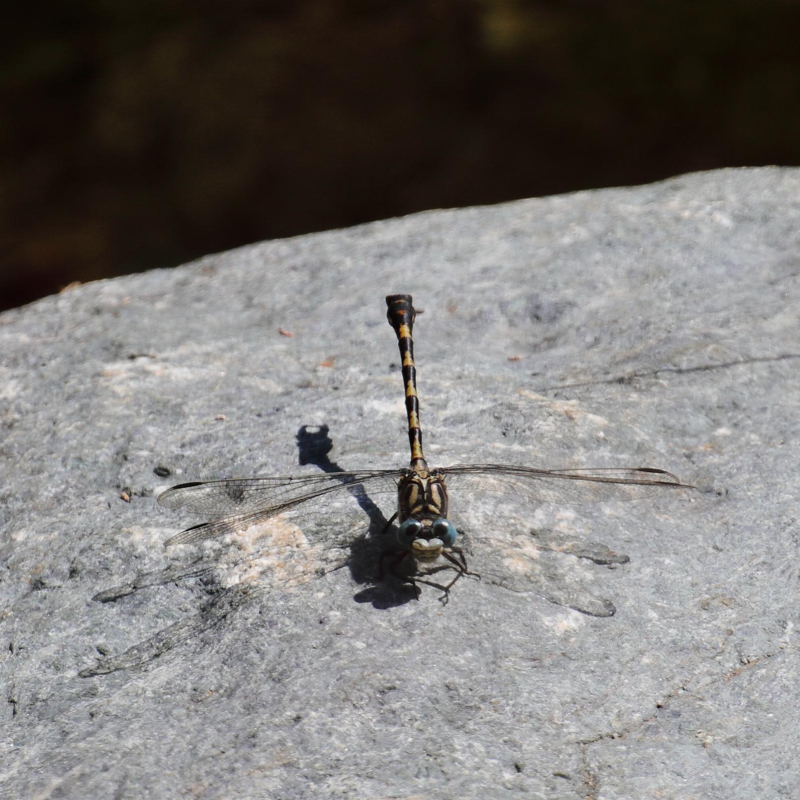 Dragonfly - Onychogomphus forcipatus...