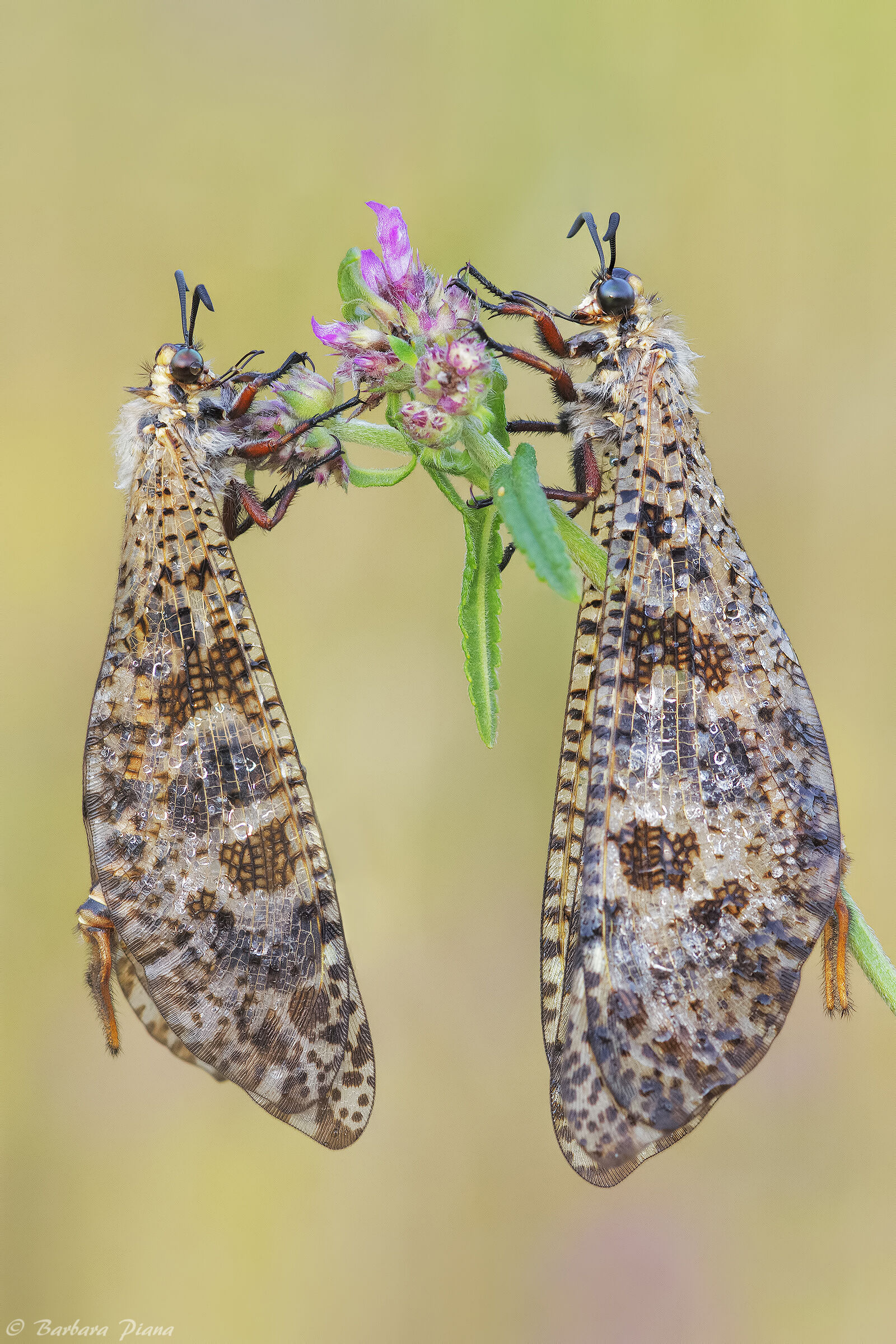 Palpares libelluloides...