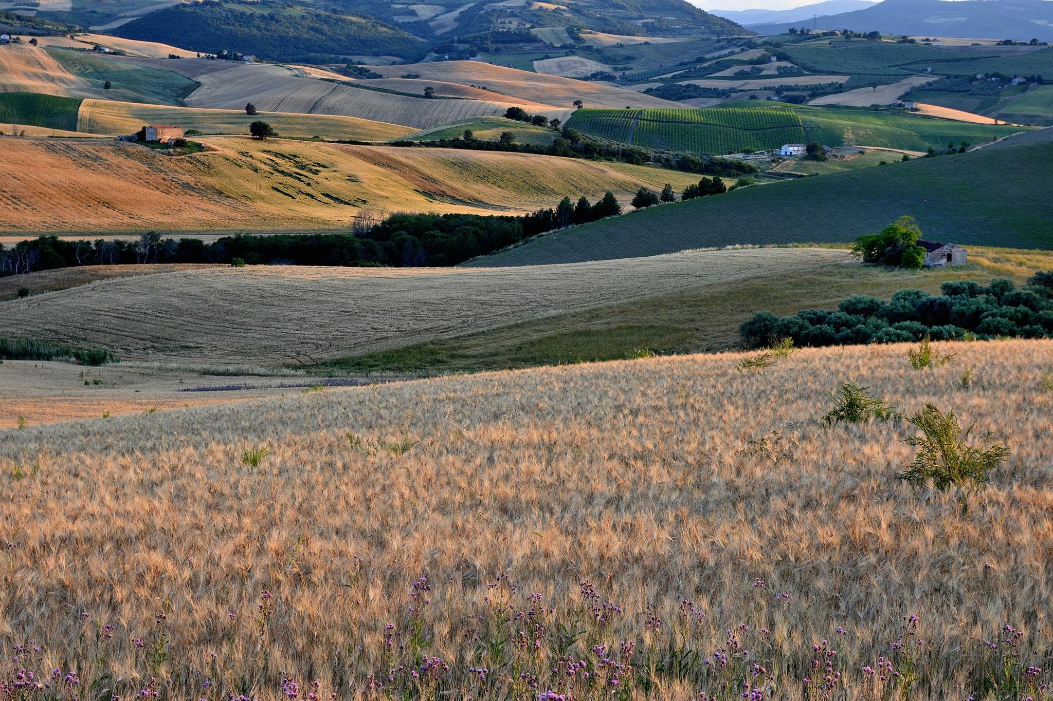 A sea of wheat...