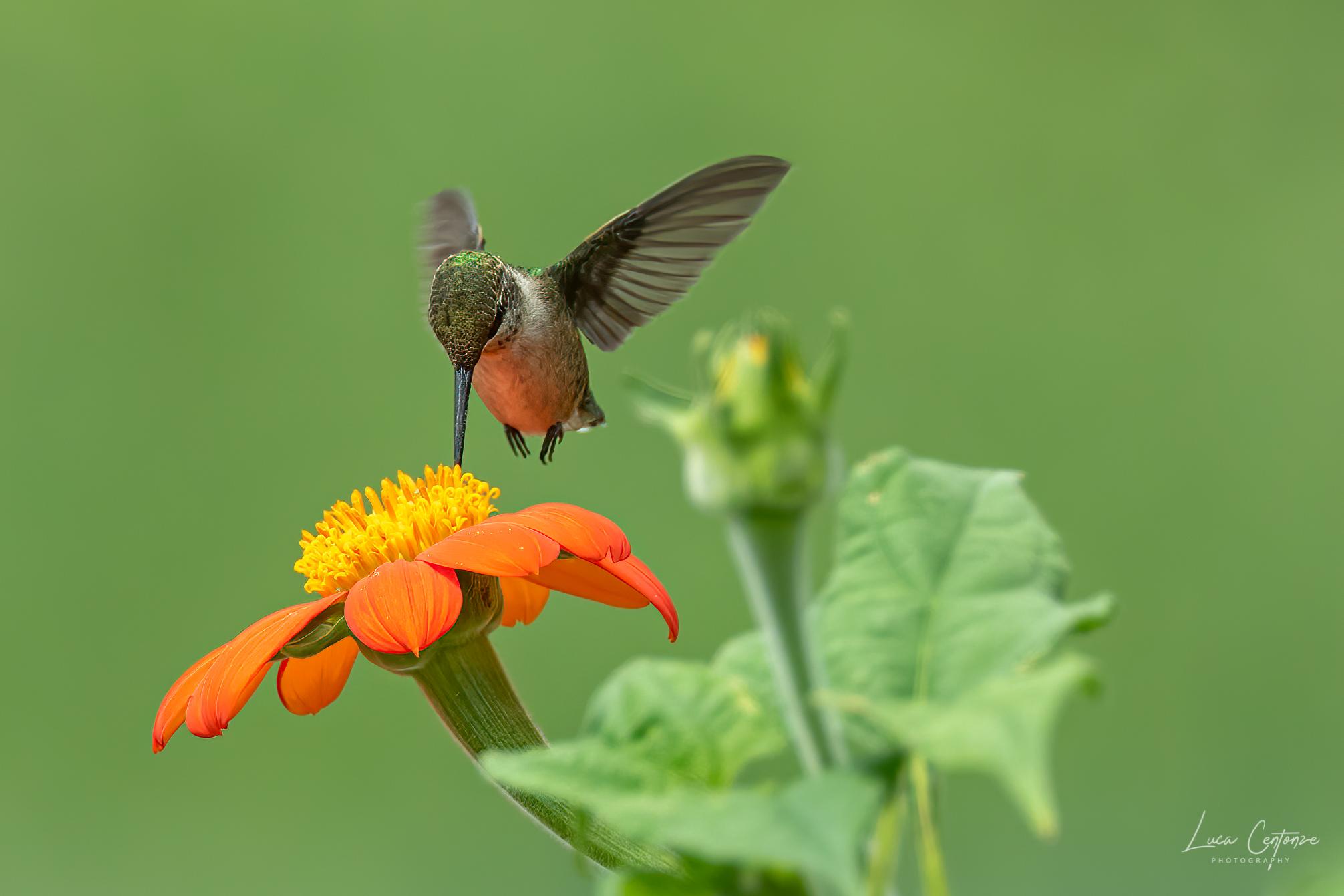 Hummingbird ...