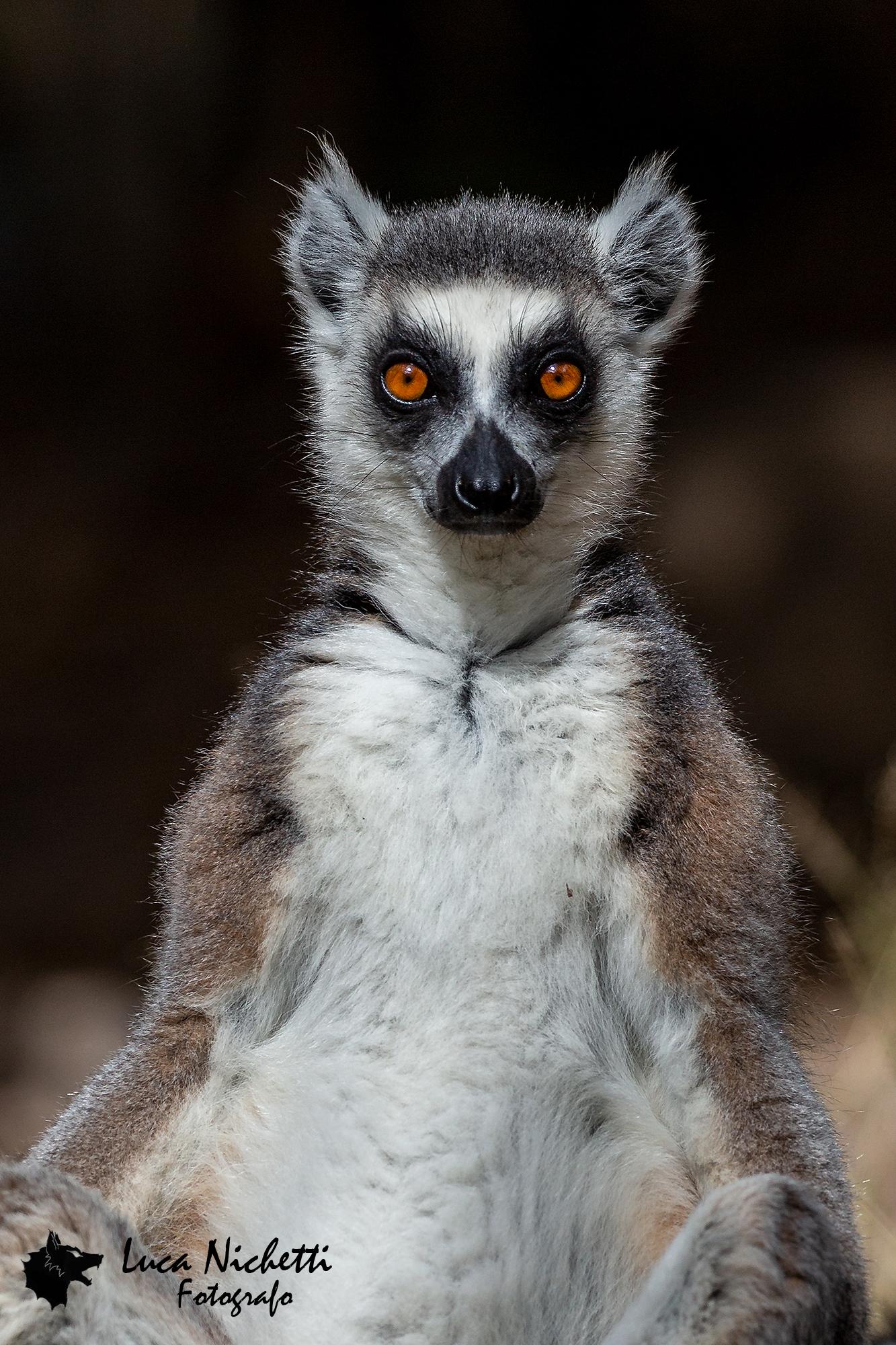 The king of lemurs...