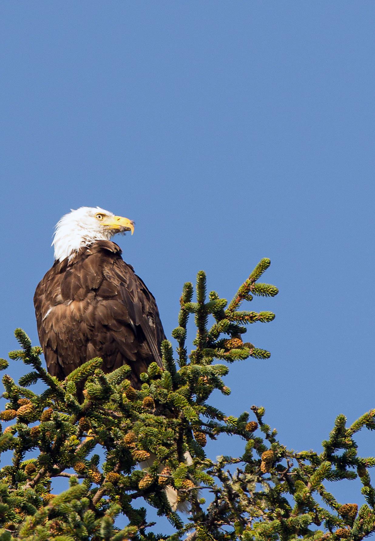 White-headed sea eagle...