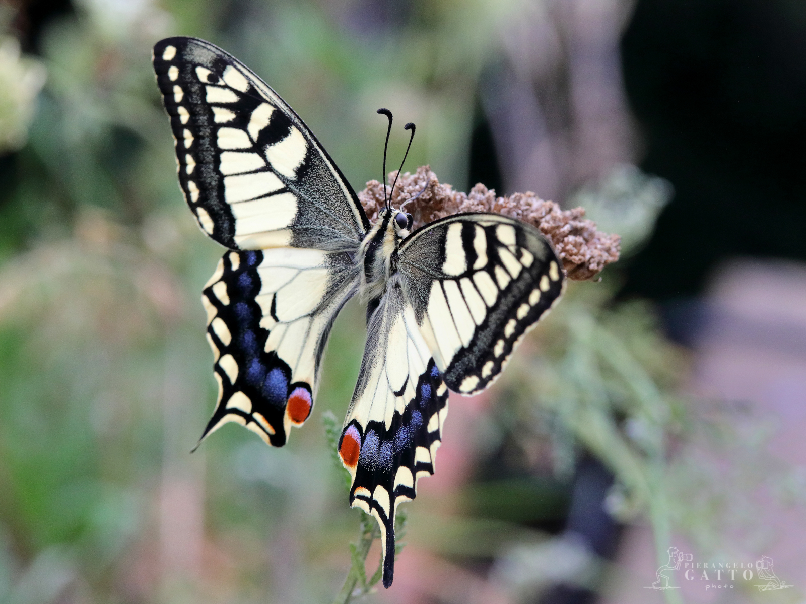 Machaon Papilio...