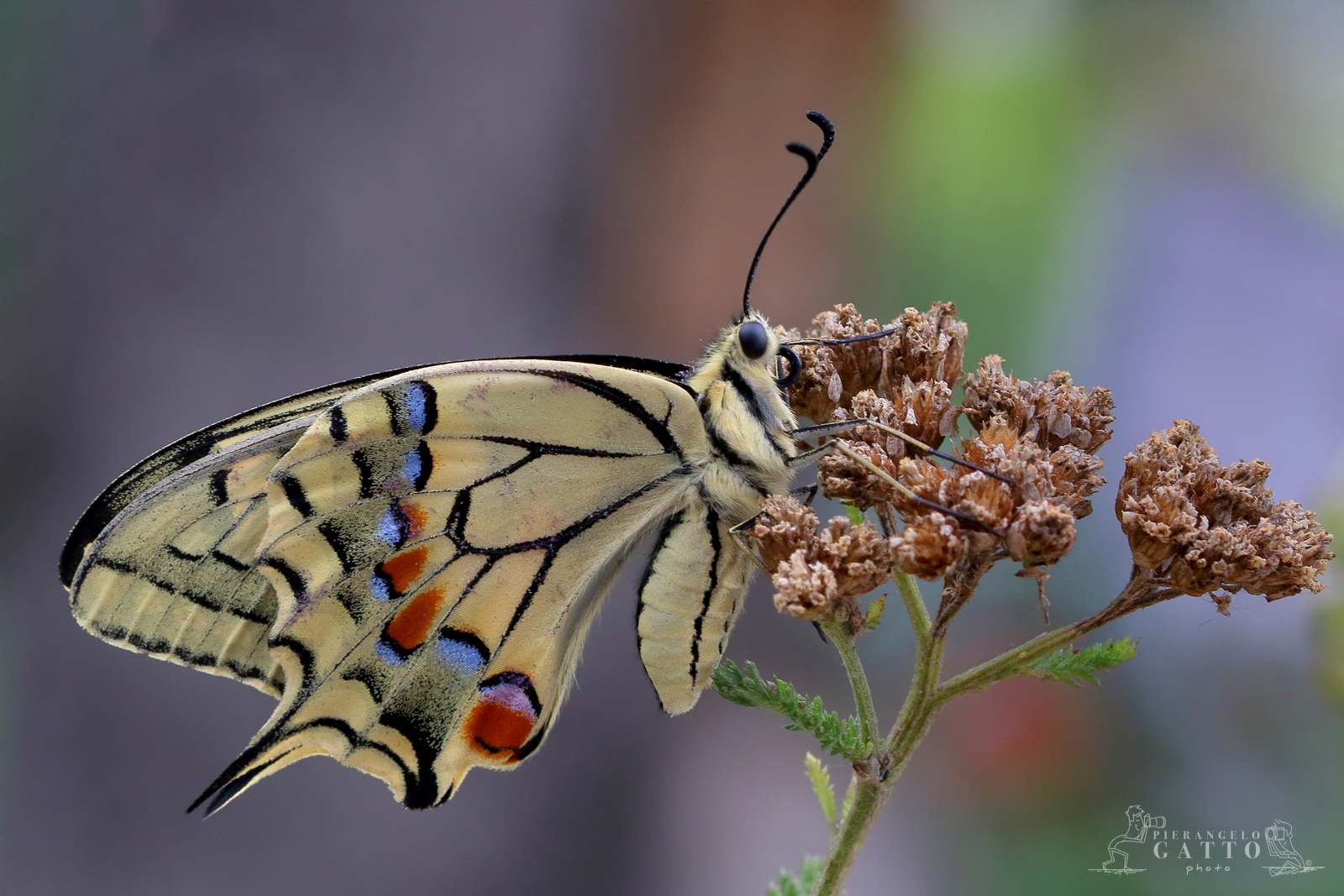 Machaon Papilio...