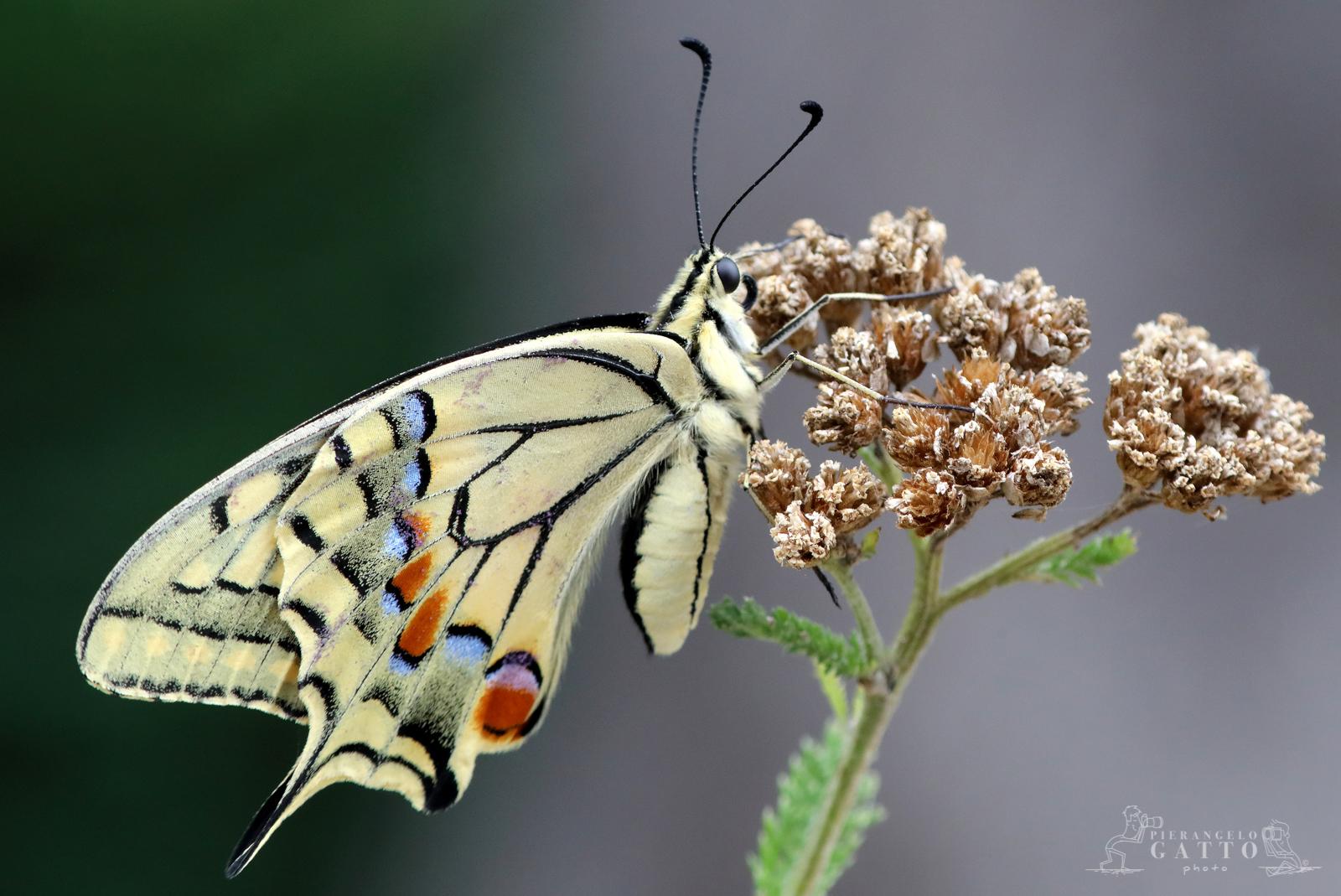 Papilio machaon Test with Kenko 2x...