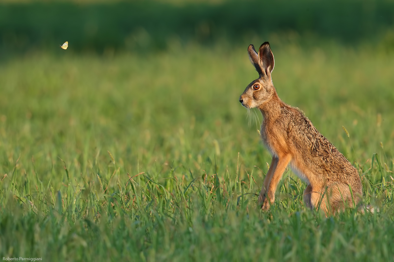 The Hare and the Butterfly...