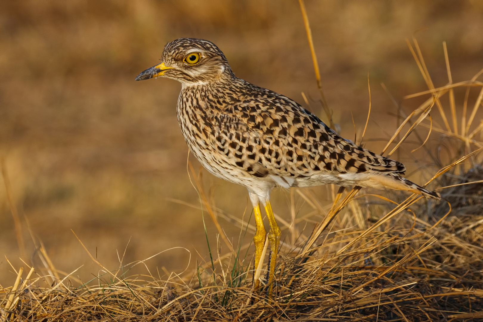 Spotted Thick-knee...