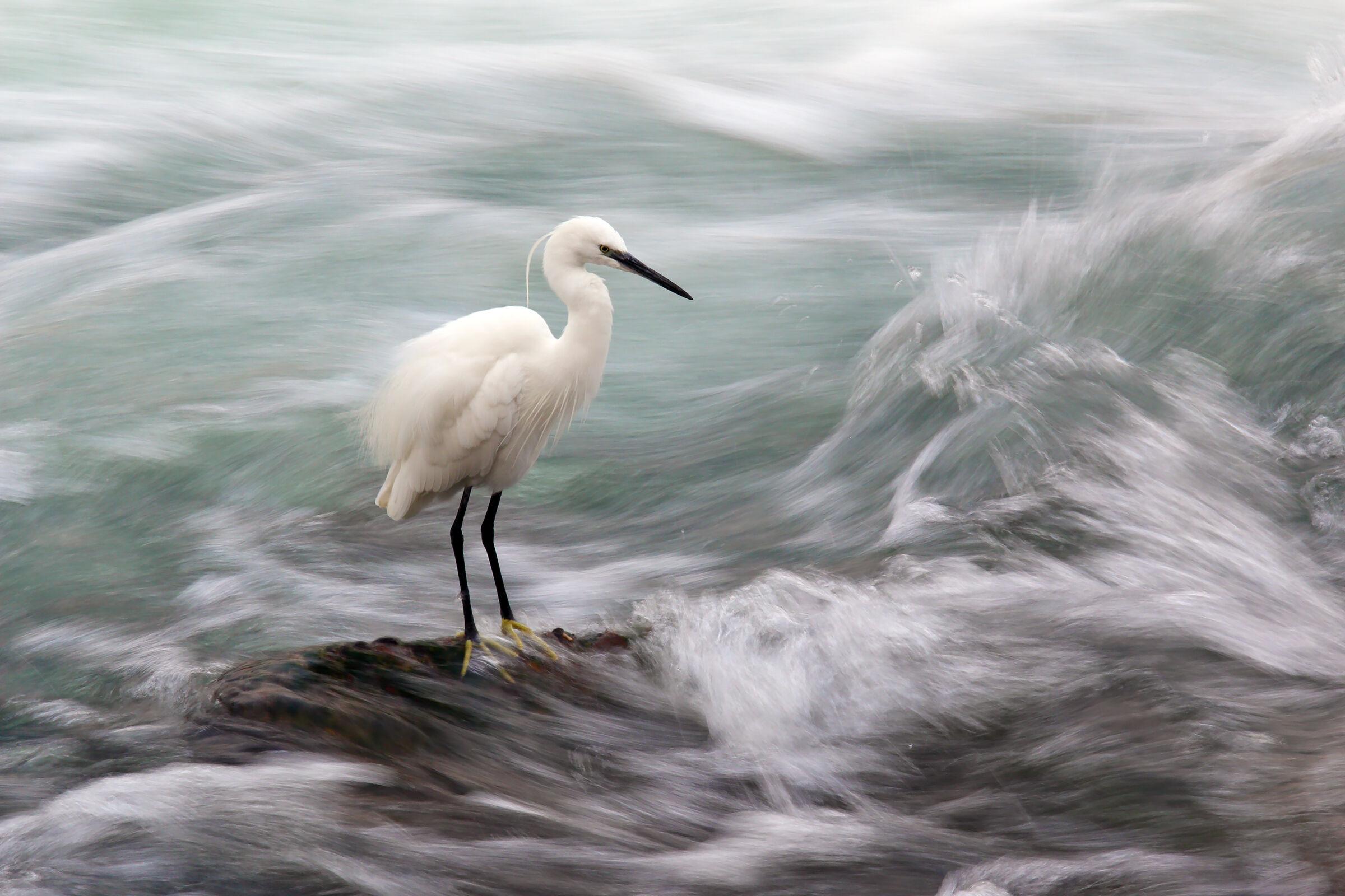 egrets...
