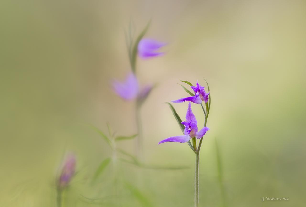 The elegant Cephalanthera rubra...