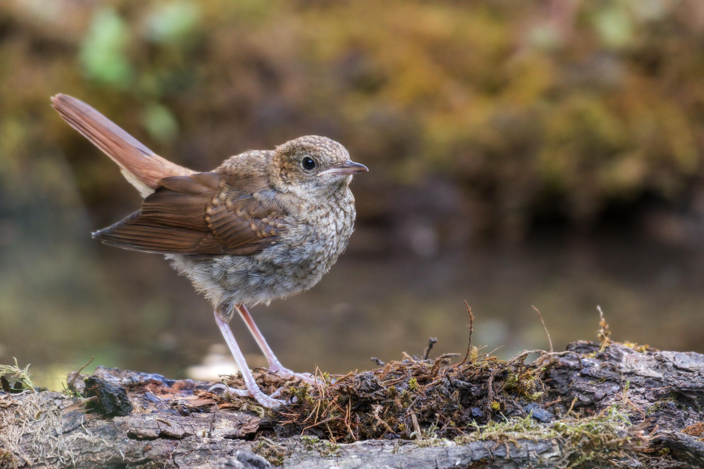 Young Nightingale...