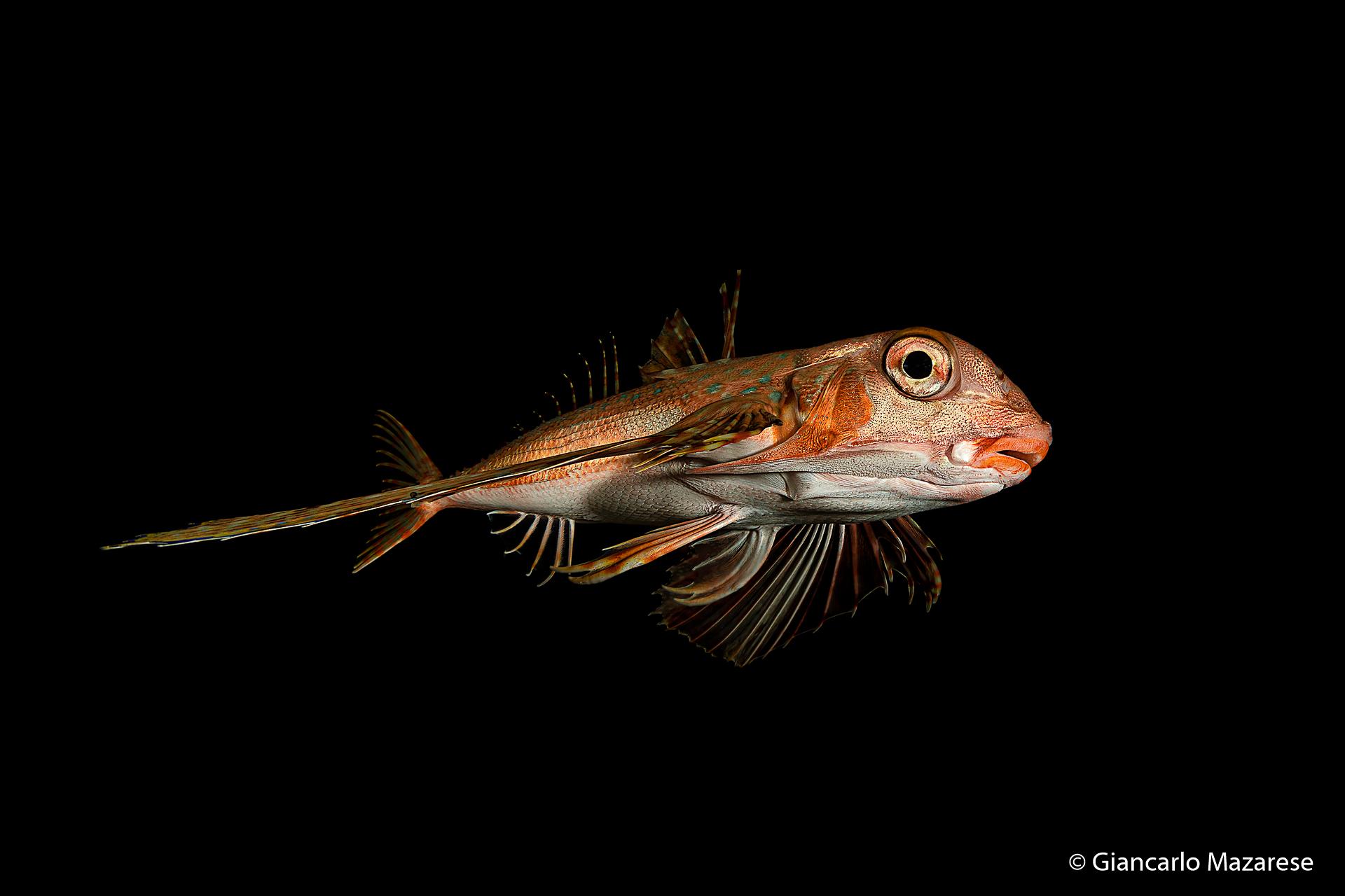 Owlfish...
