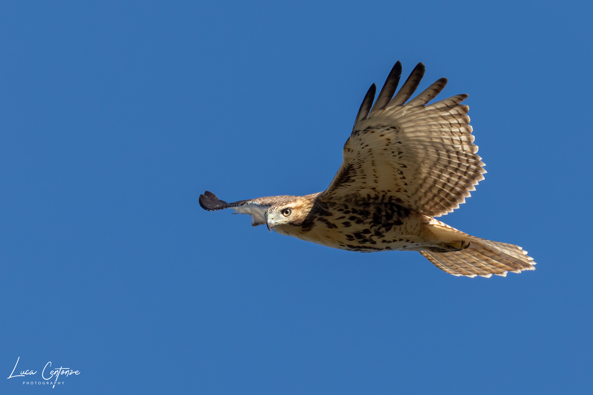 Red Tailed Hawk (Buteo Jamaicensis)...