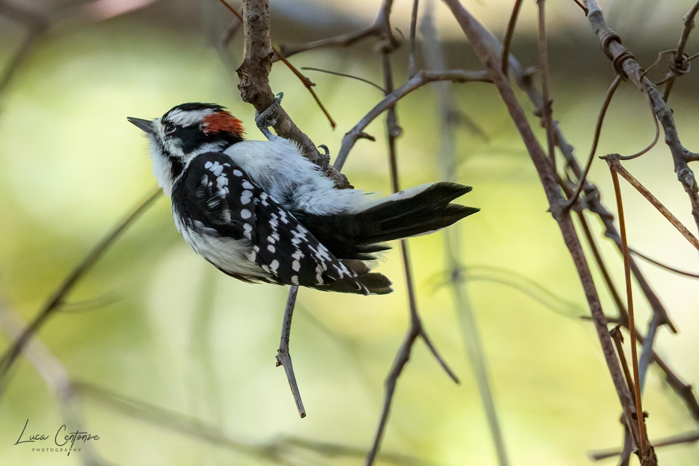 Downy Woodpecker (Picoides pubescens)...