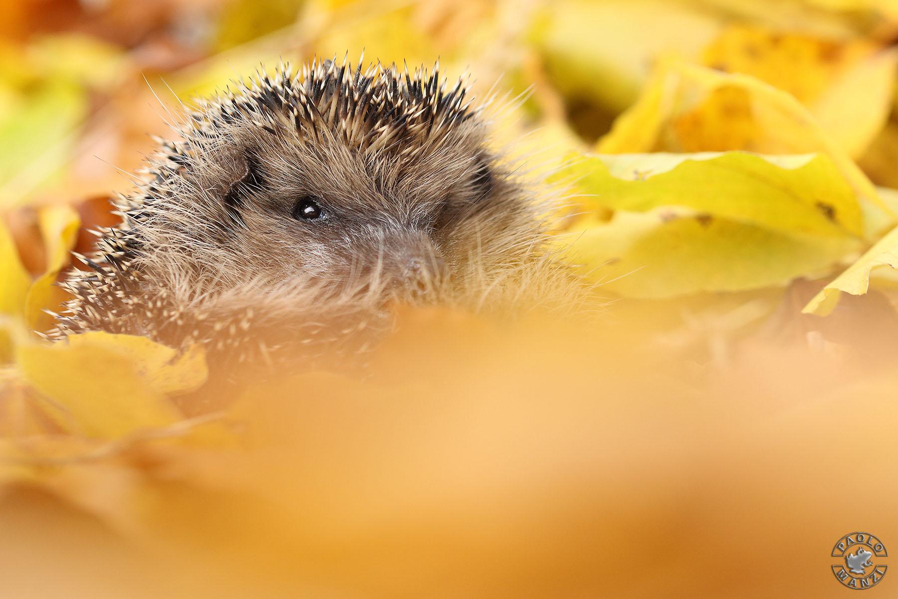 Autumn hedgehog ...