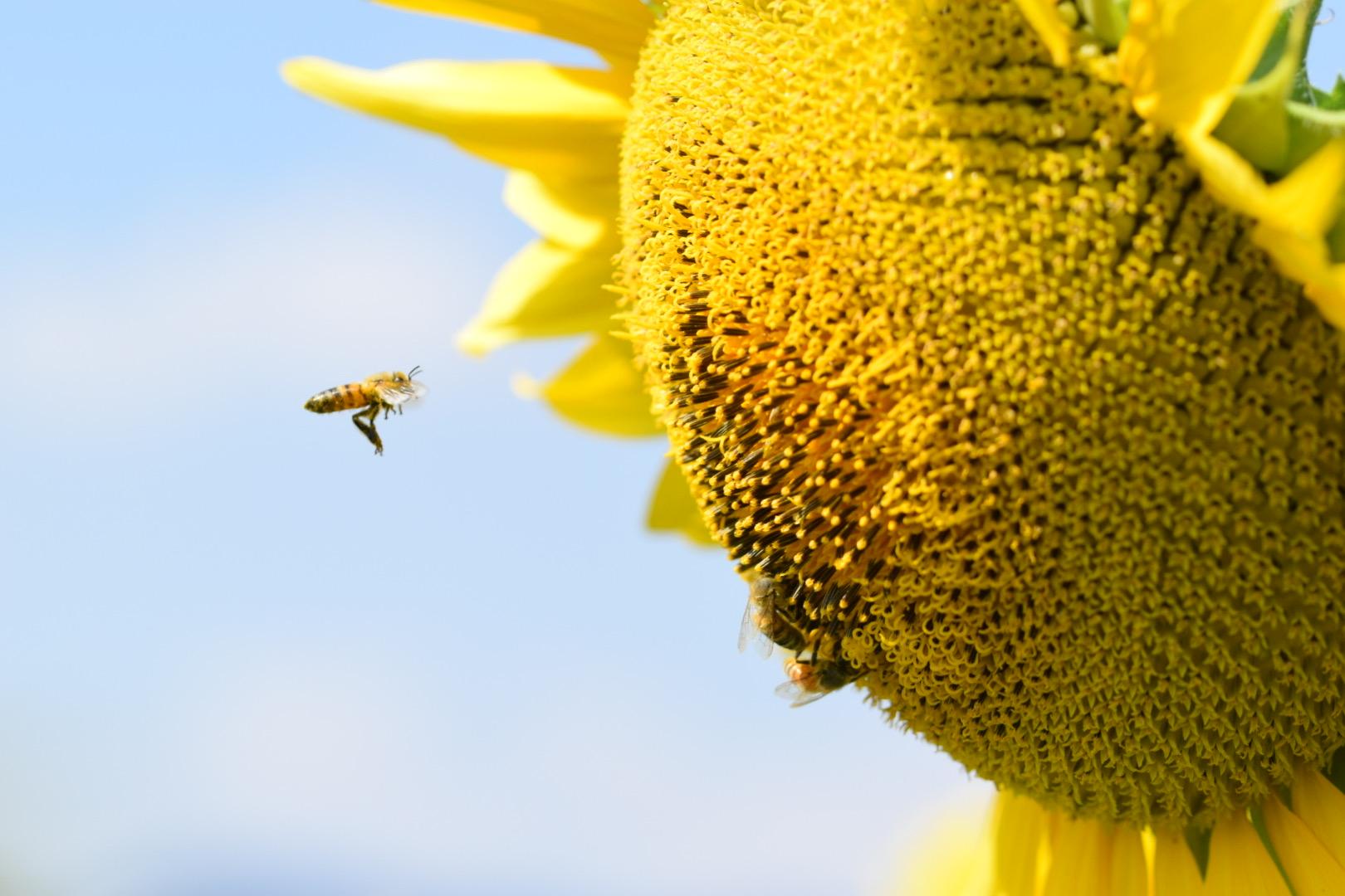 Bee in flight...