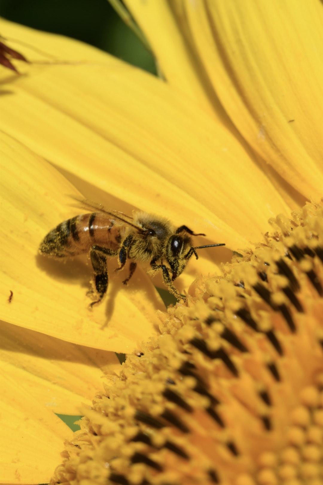 Bee on sunflower...
