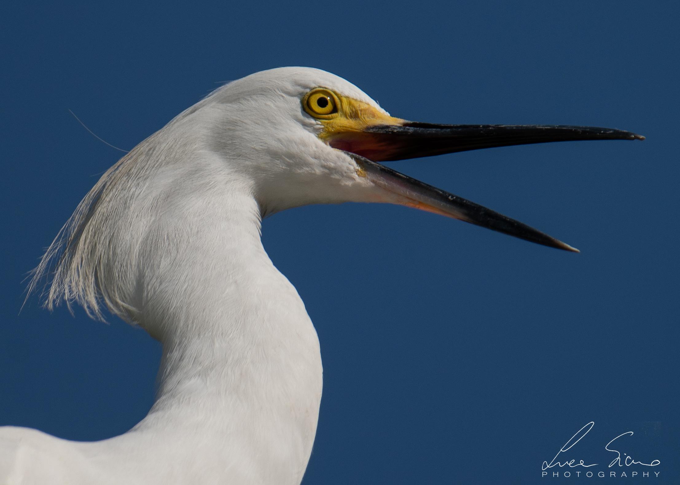 Egretta thula or Egret nivea...